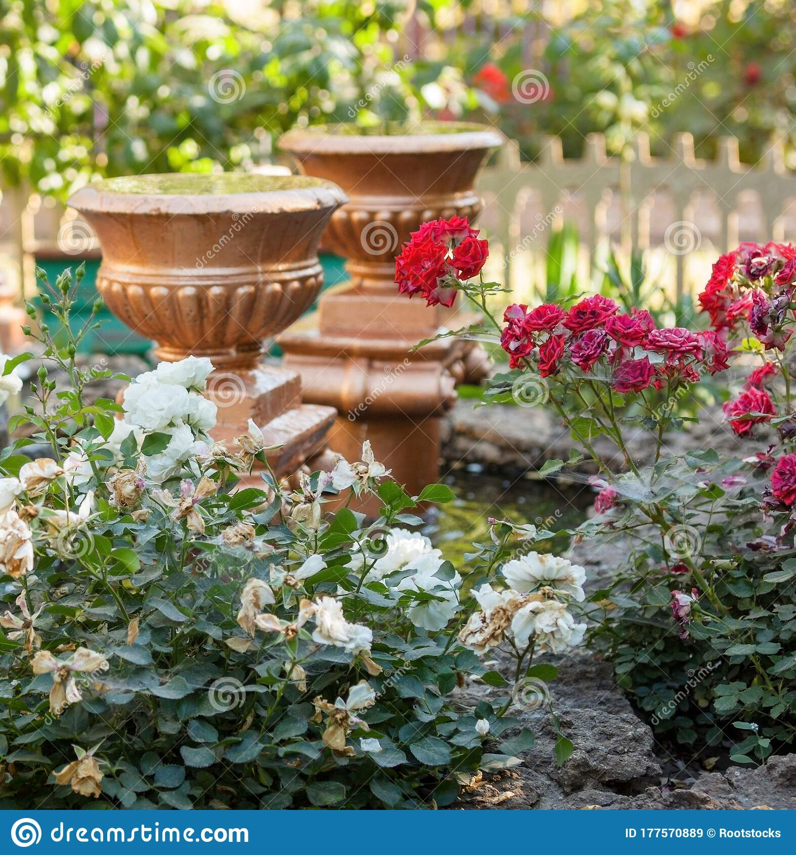 Roses Vases And Pond In The Garden Stock Image Image Of Natural Ceramic 177570889