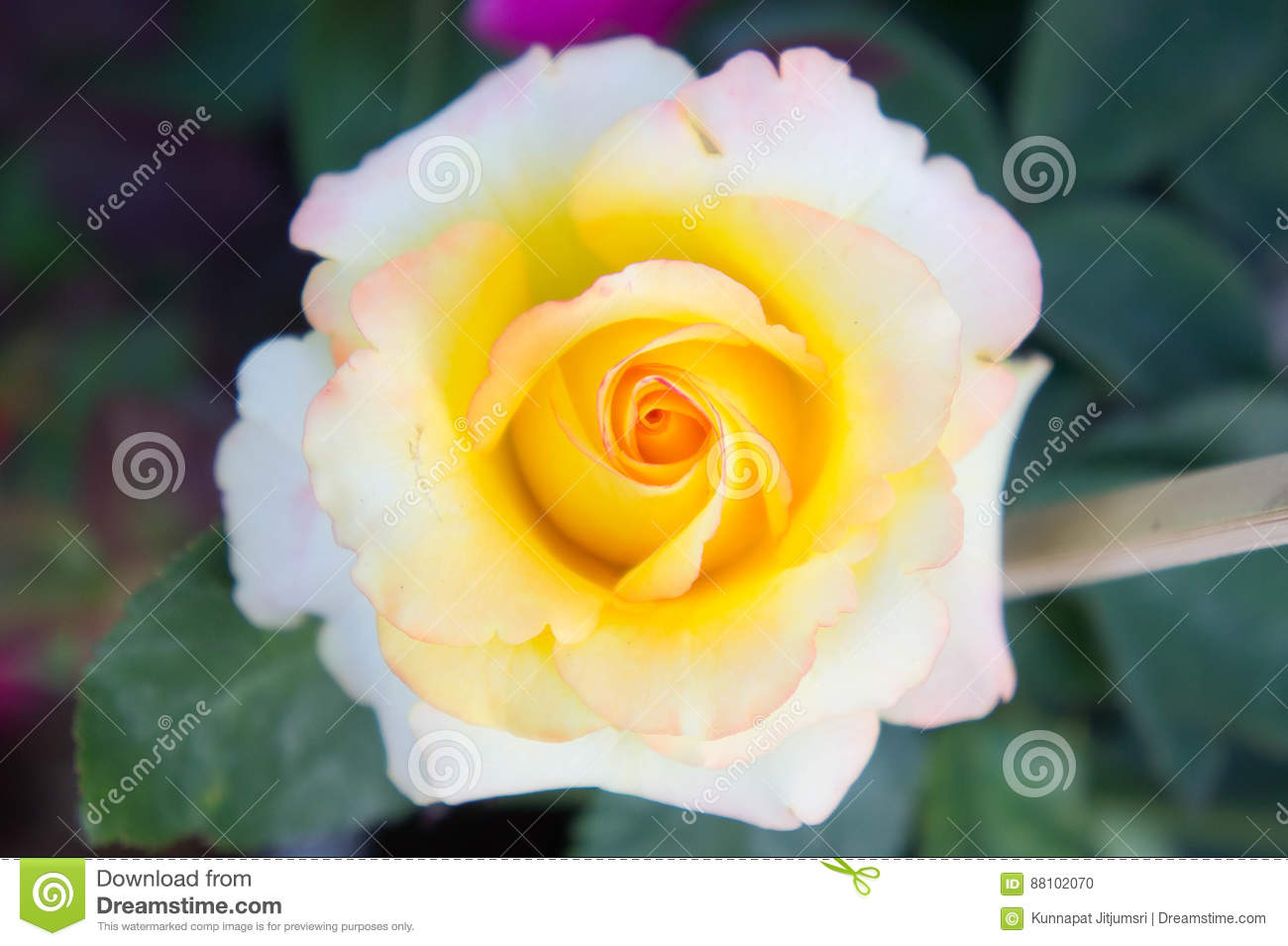 Roses yellow flowers in the garden yellow beautiful flowers stock roses yellow flowers in the garden yellow beautiful flowers izmirmasajfo