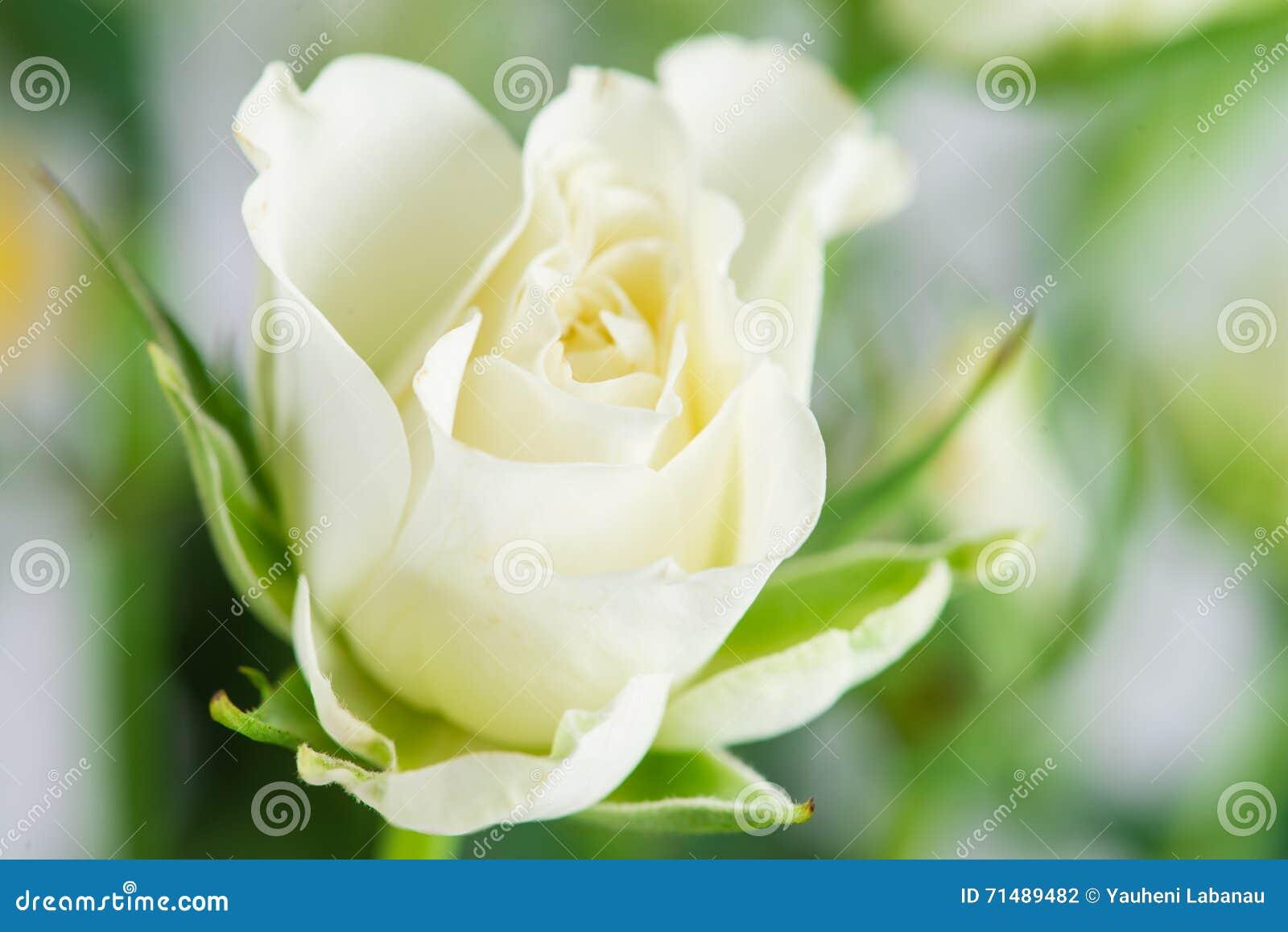 rosier d 39 arbuste blanc sur le fond vert photo stock image du isolement nature 71489482. Black Bedroom Furniture Sets. Home Design Ideas