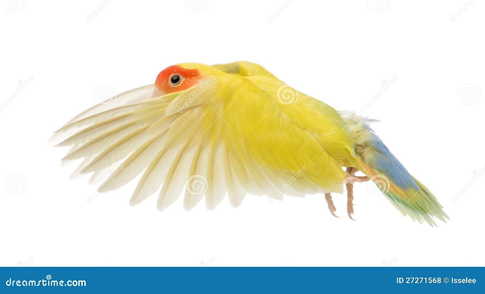 Rosig-gegenübergestelltes Lovebirdflugwesen