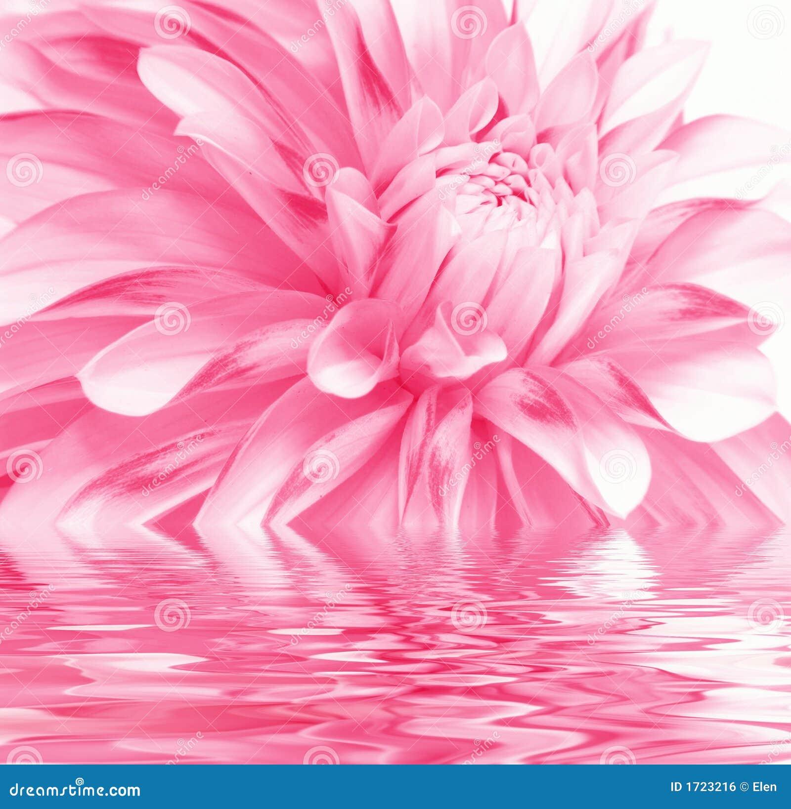 Rosigt vatten för blomma