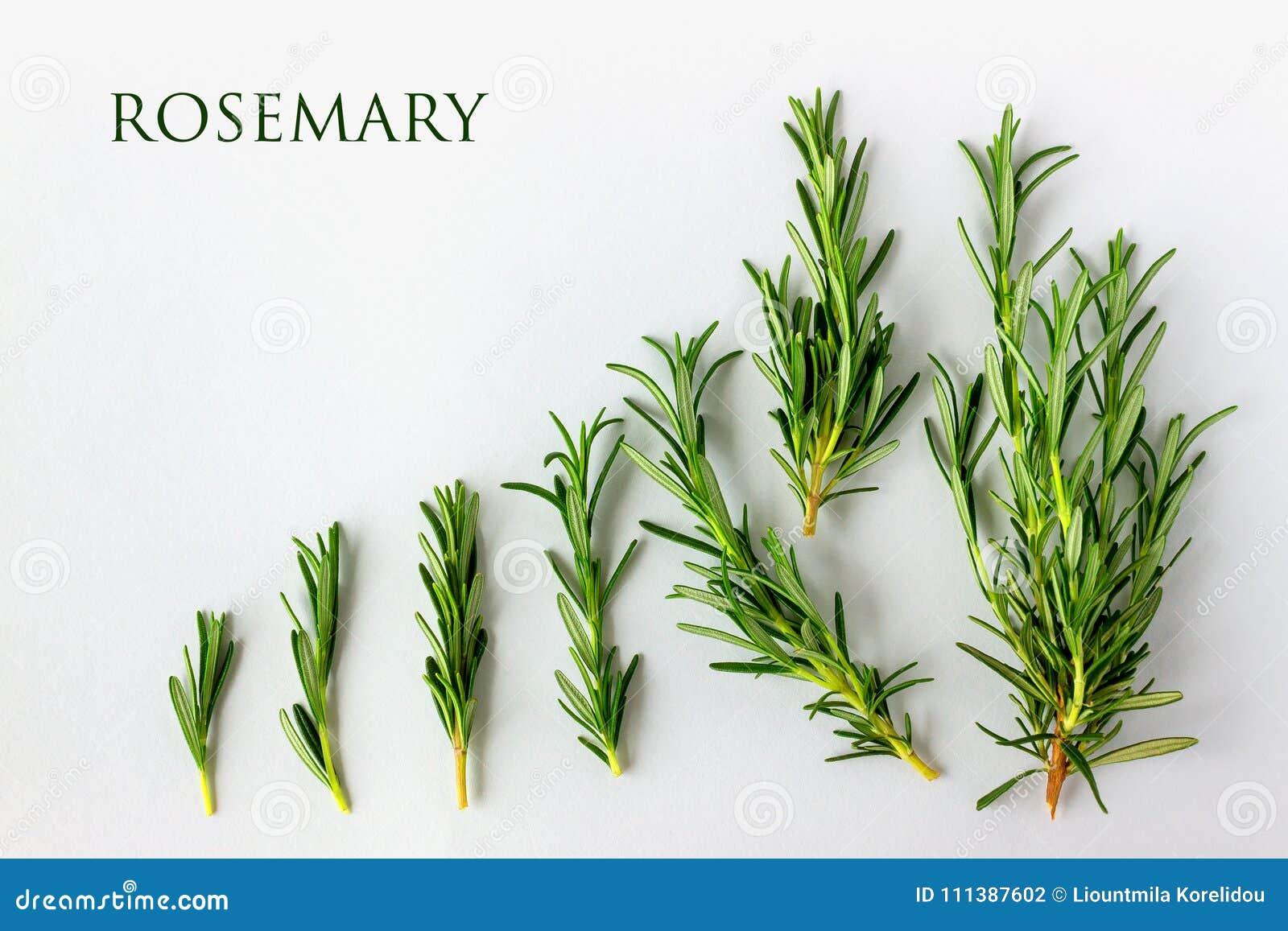 Rosmarini verdi freschi su un fondo bianco con lo spazio della copia per y