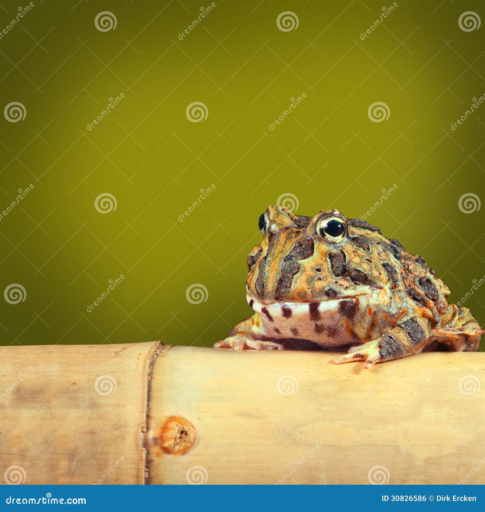 Rospo tropicale divertente della rana di Pacman