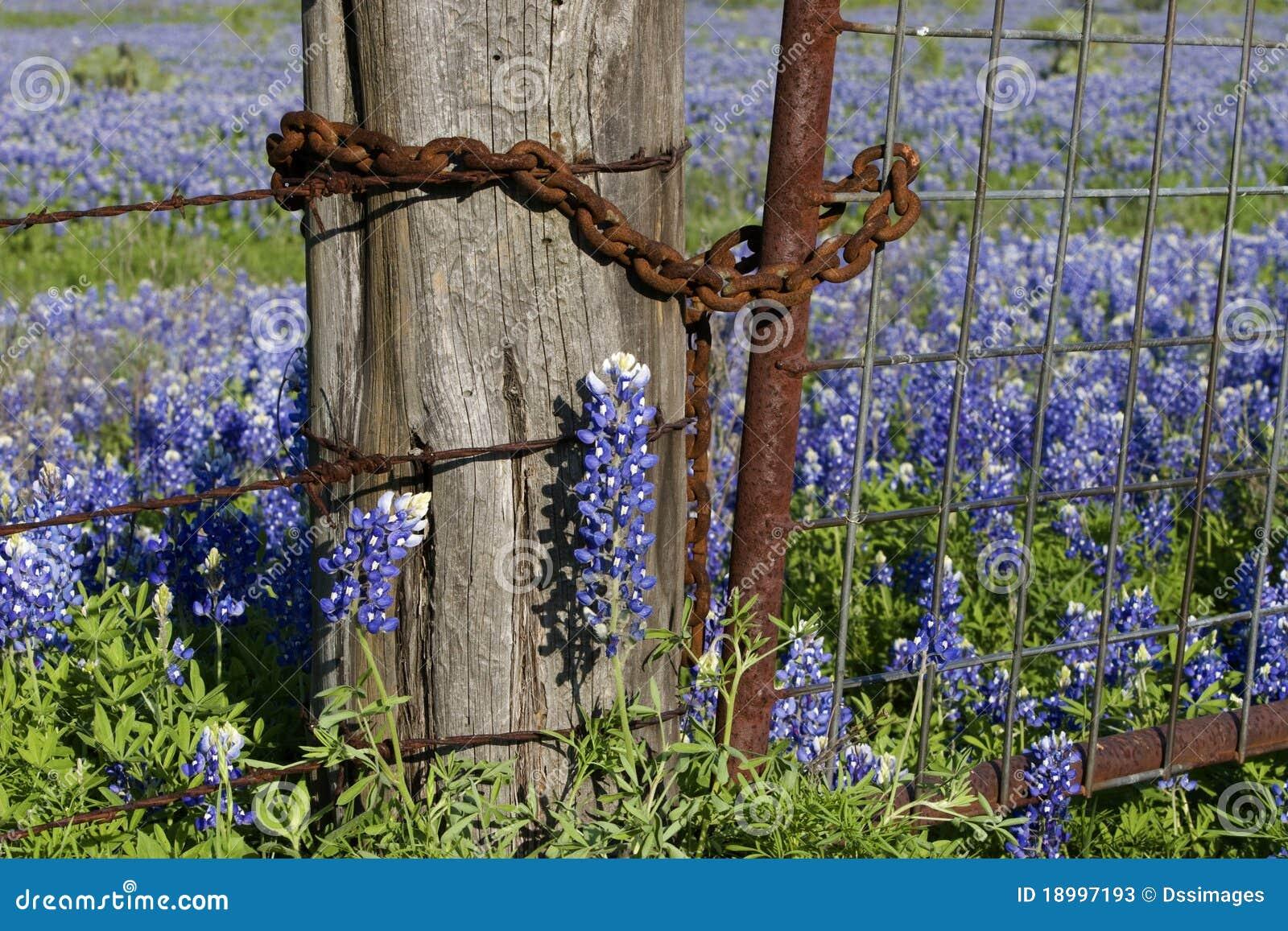 Rostiger Zaun Und Bluebonnets Stockbild Bild Von Fruhling Blumen