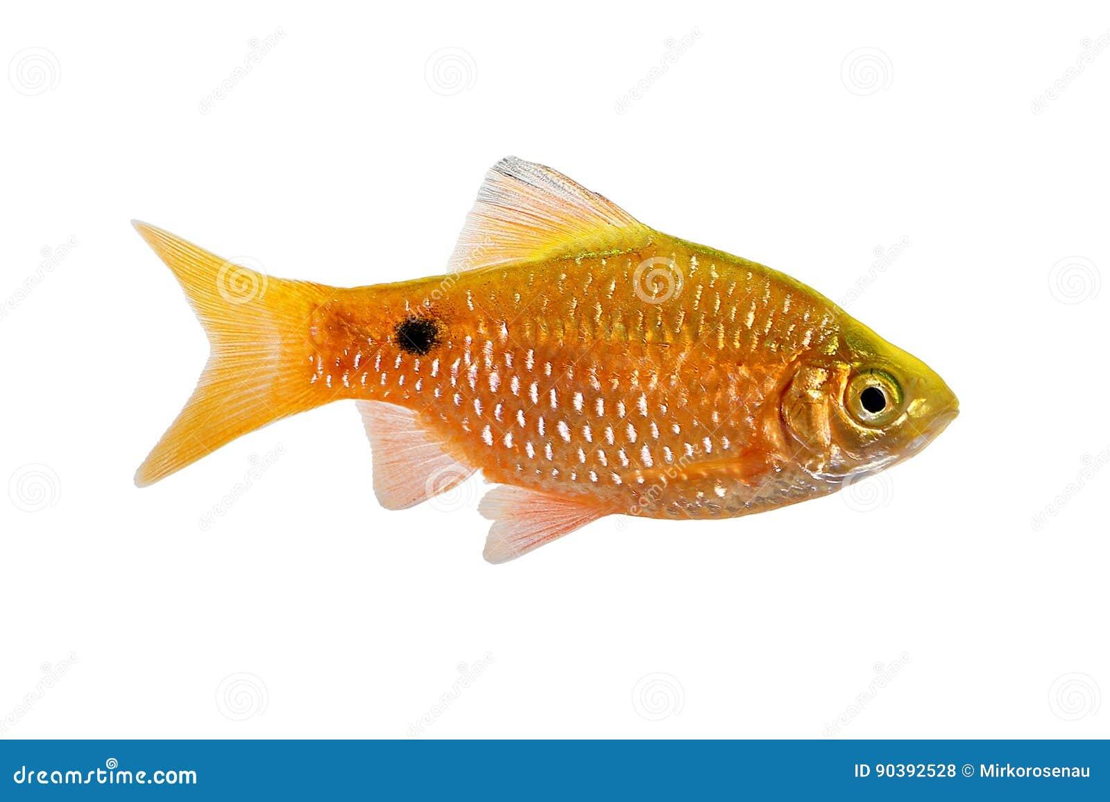 Rosy Barb Male Pethia-vissen van het conchonius de zoetwater tropische aquarium