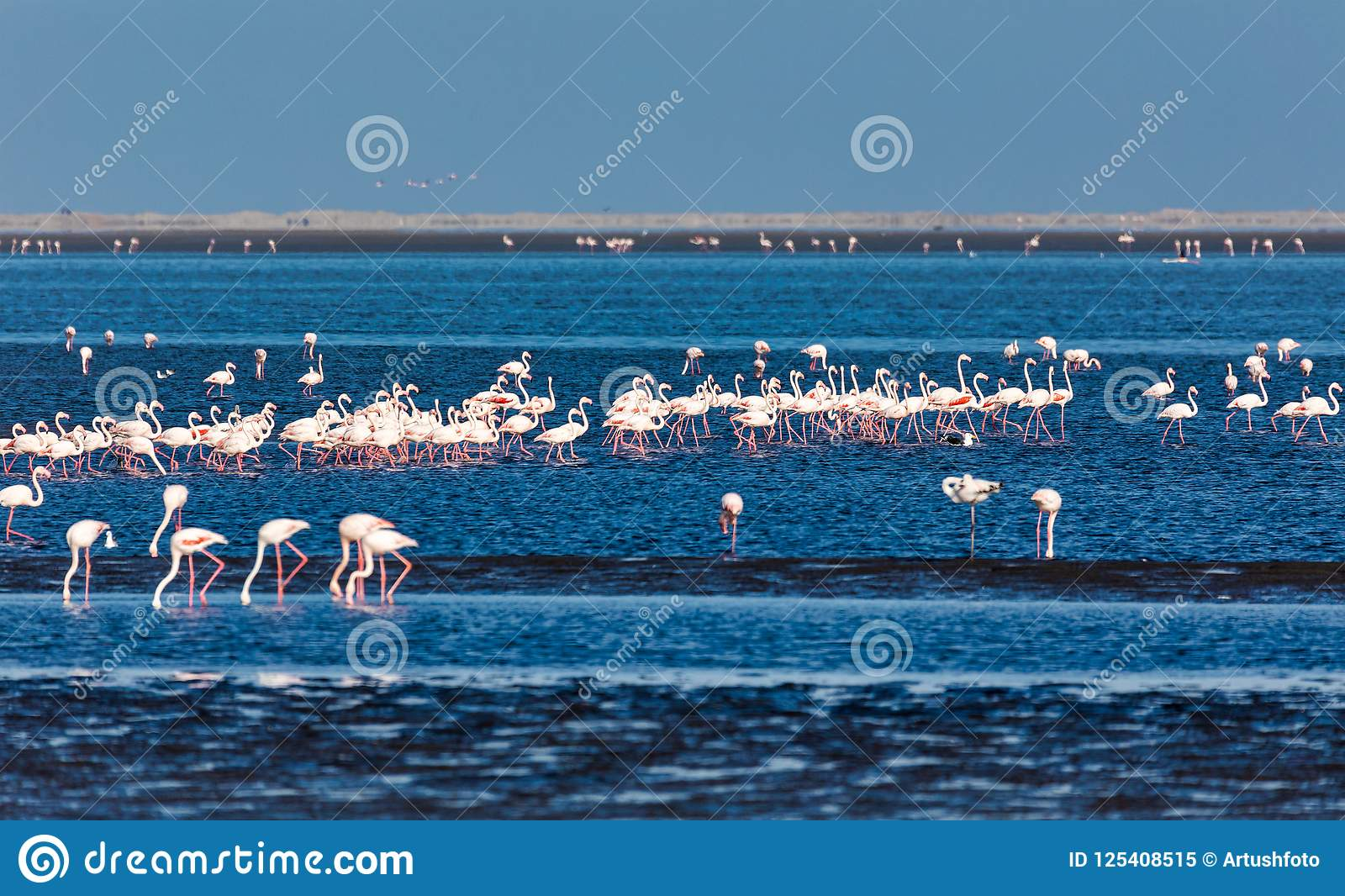Rosy Flamingo colony in Walvis Bay Namibia, Africa wildlife