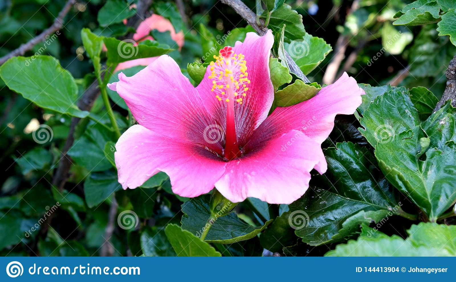 A rosy pink flower of a hibiscus shrub