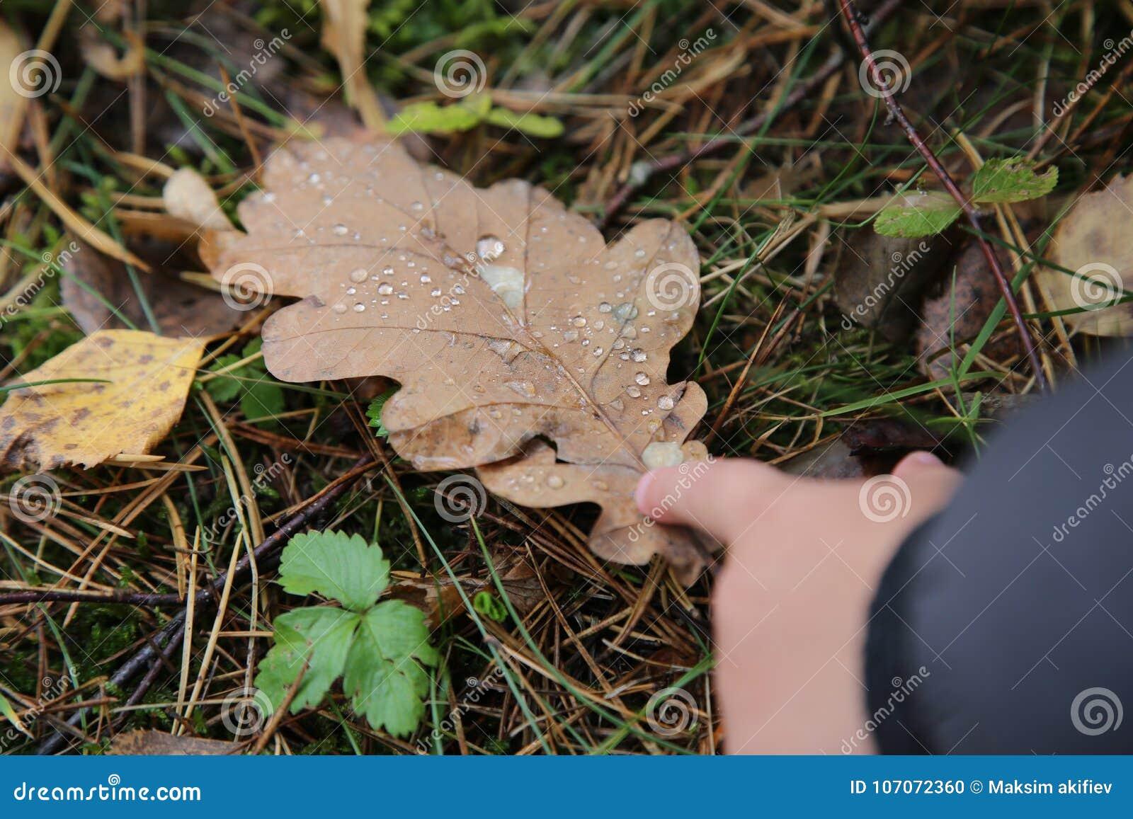 Rosy zakończenie na dębowym liściu i dziecka ` s ręce w jesieni