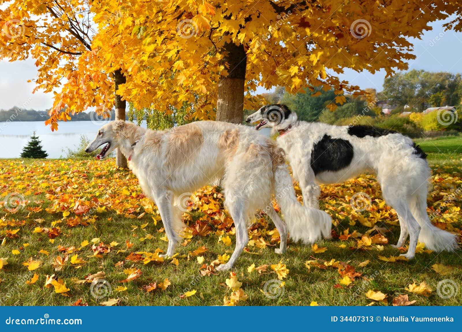 Rosyjscy wolfhounds