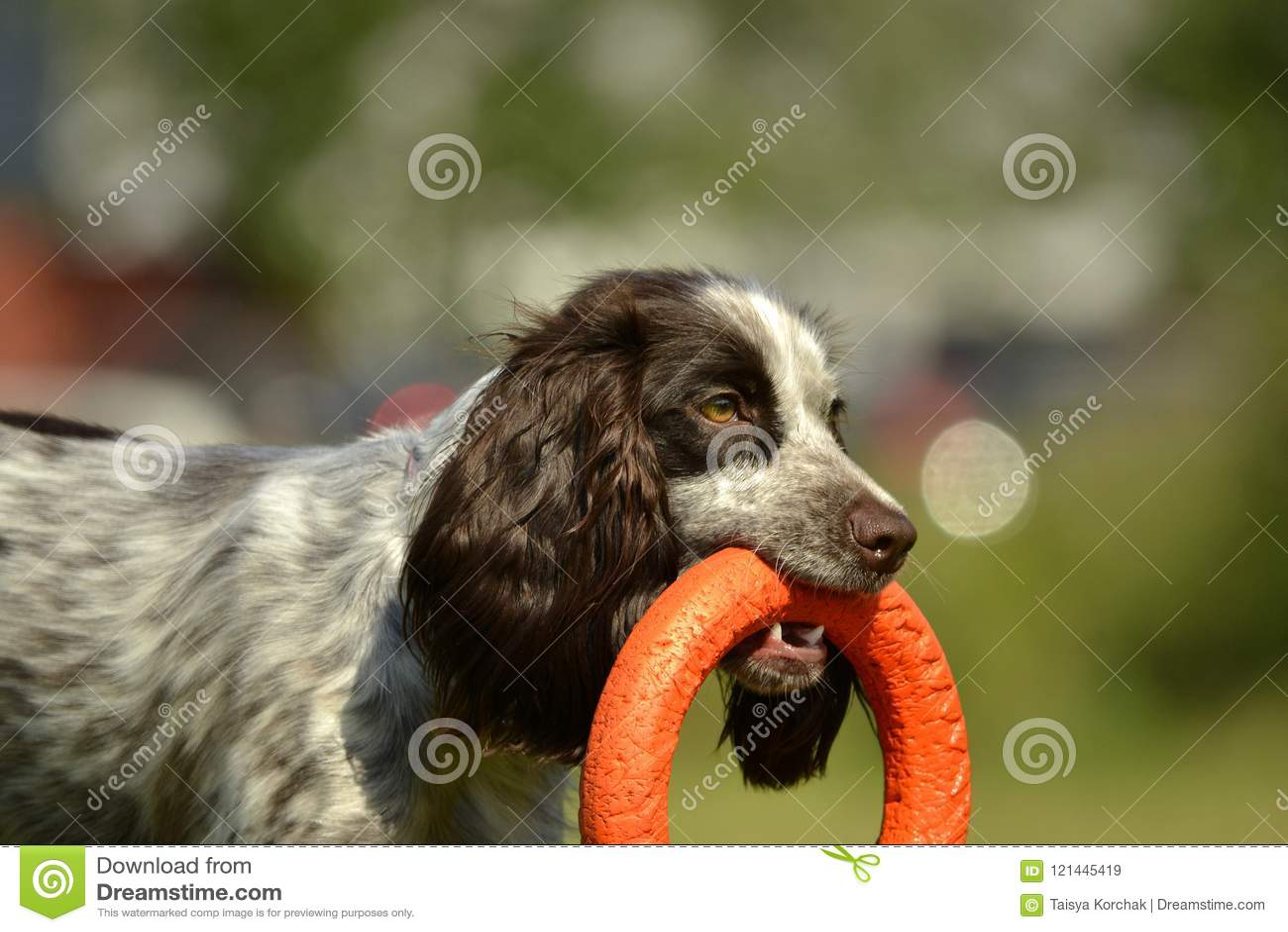 Rosyjski łowiecki spaniel Młody energiczny pies na spacerze Szczeniak edukacja, kynologia, intensywny szkolenie młodzi psy Chodzą