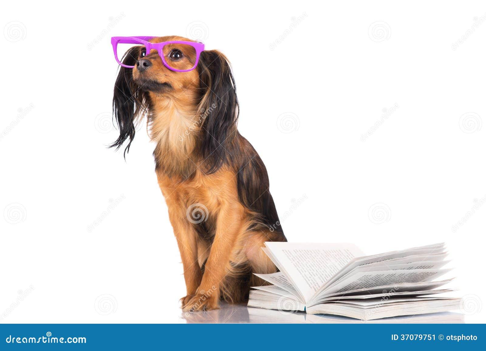 Download Rosyjski Zabawkarskiego Teriera Pies Obraz Stock - Obraz złożonej z glassful, trochę: 37079751