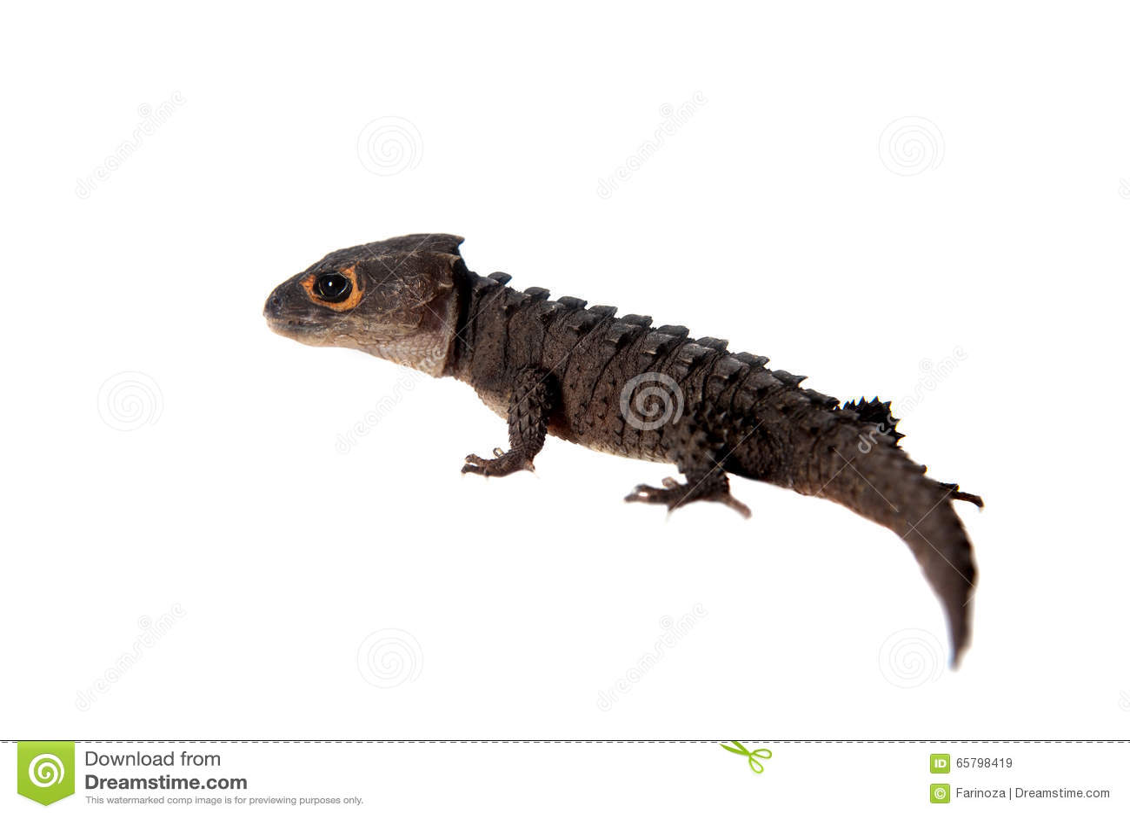 Rotäugige Krokodil Skinks, Tribolonotus Zart, Auf Weiß Stockbild ...