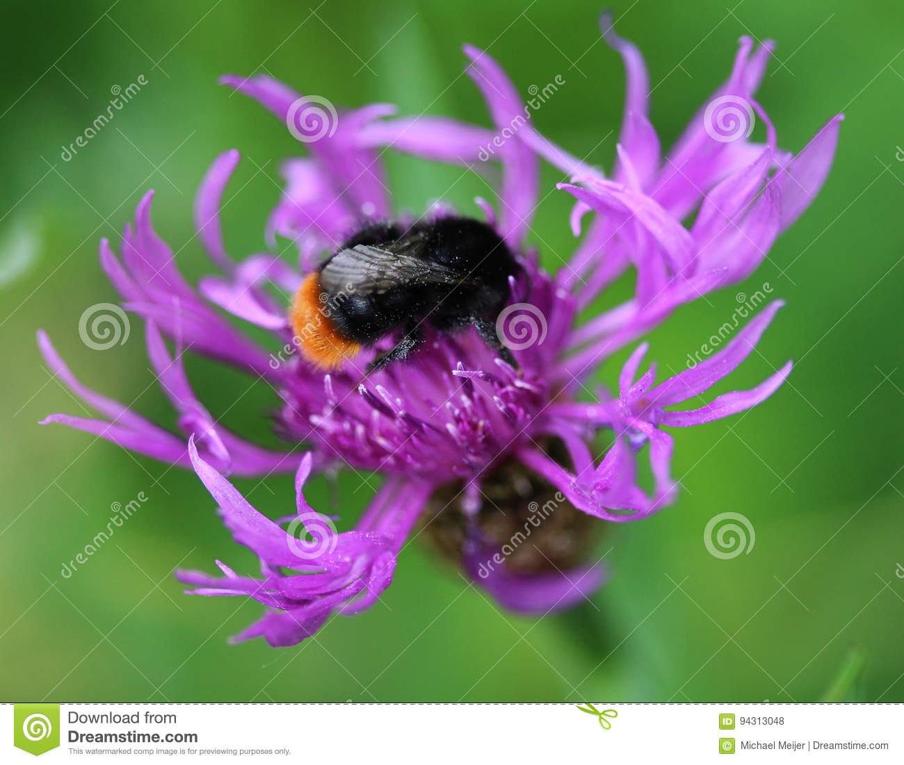 wholesale dealer 648d8 632b6 Rot angebundene Hummel stockfoto. Bild von orange ...