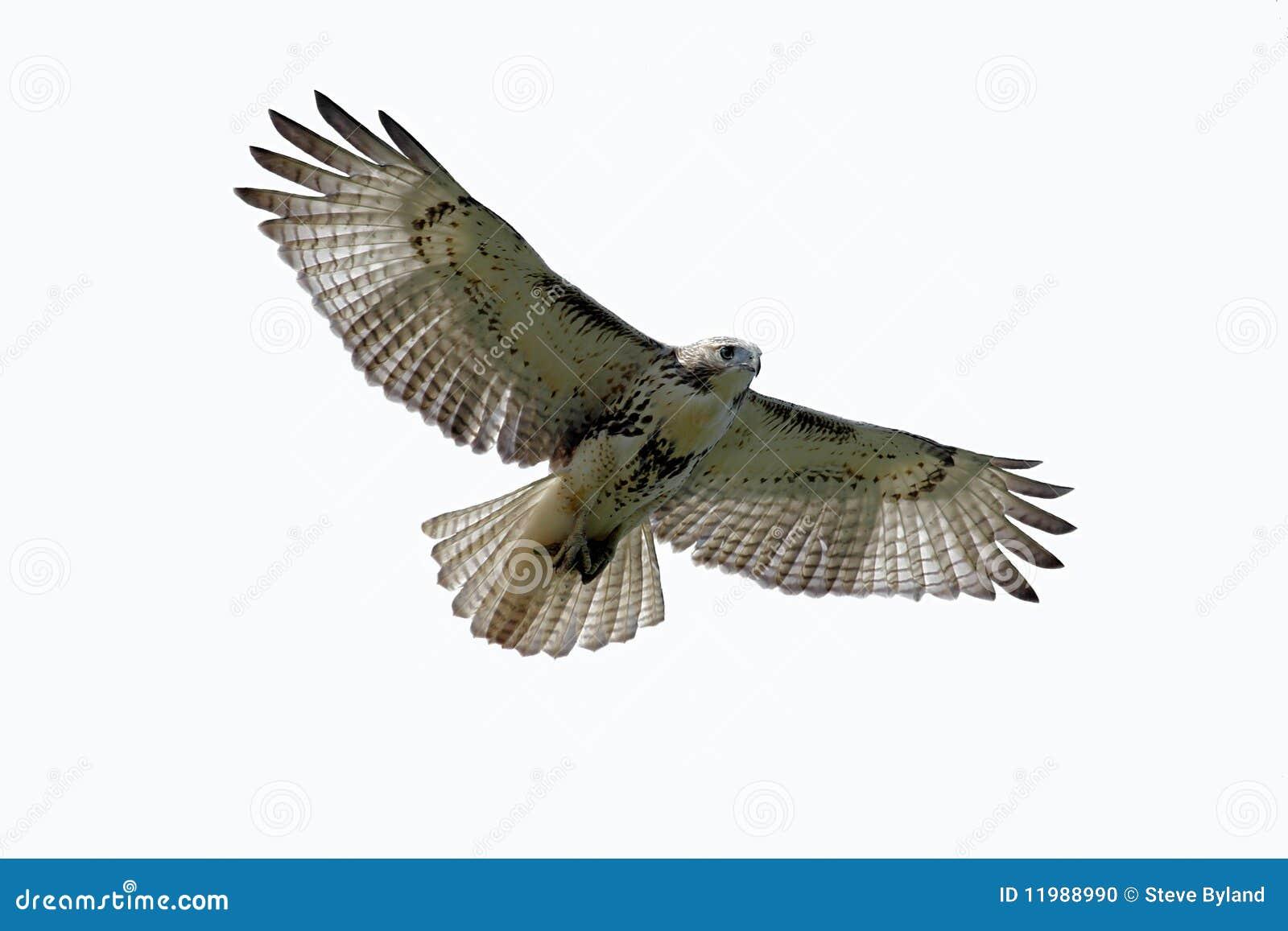 Rot-angebundener Falke trennte