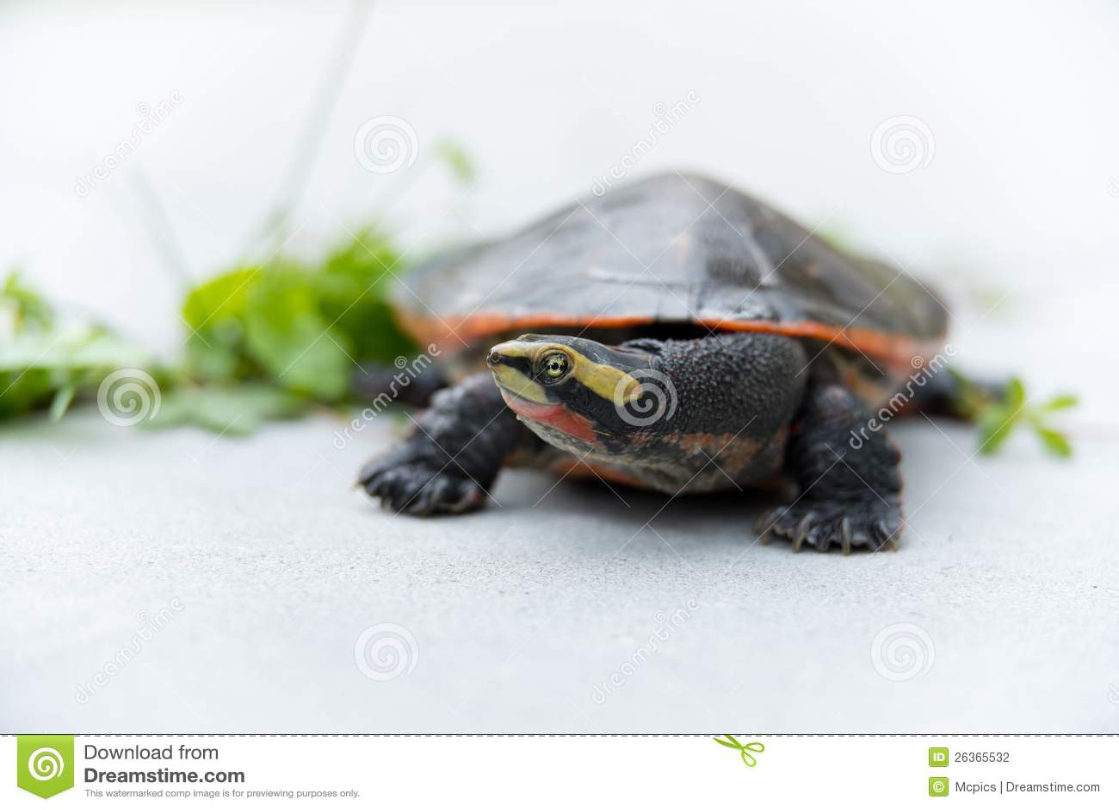 Rot-aufgeblähte kurzhalsige Schildkröte