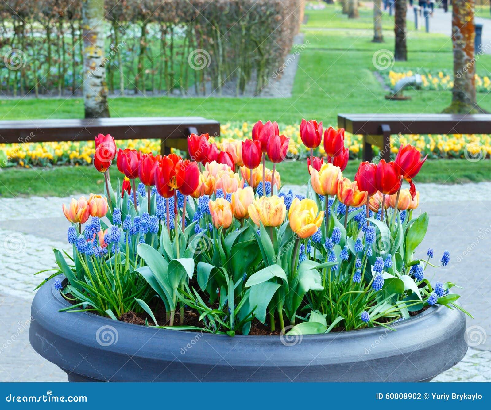 Rot gelbe tulpen im gro en blumentopf stockfoto bild for Blumentopf rot