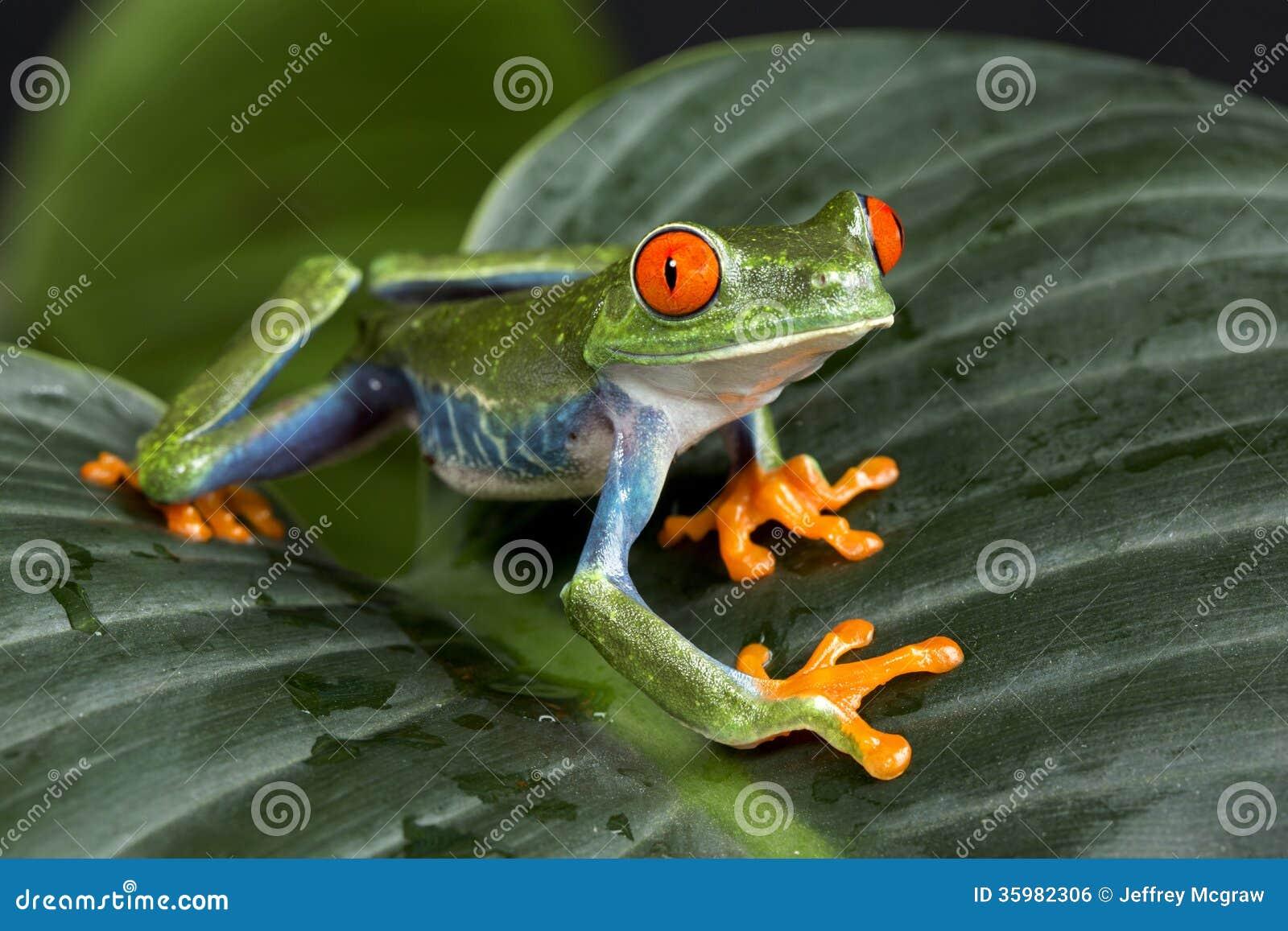 Rot gemusterter Baum-Frosch