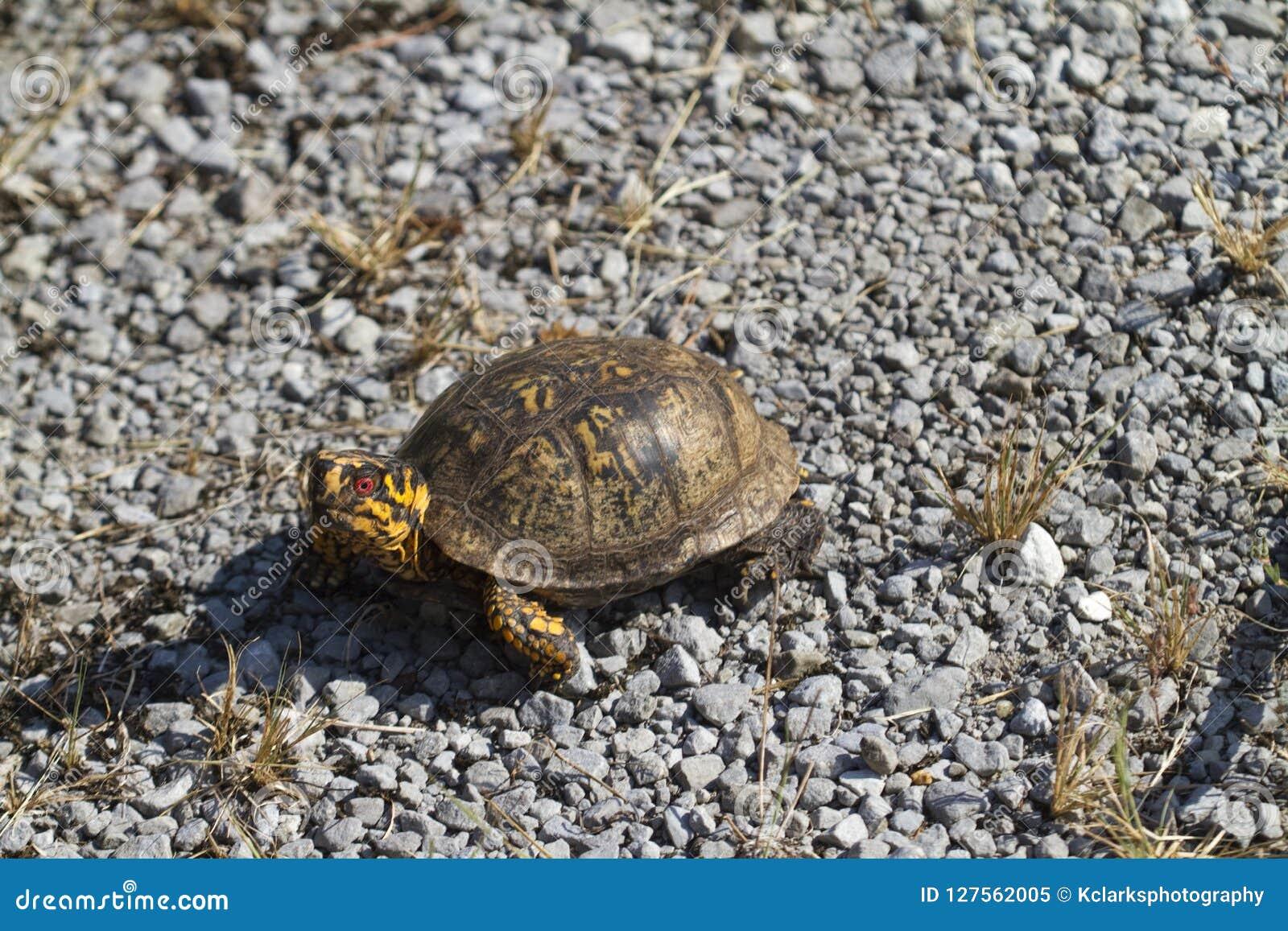 Rot musterte männlichen Ostdosenschildkröte Terrapene Carolina Carolina