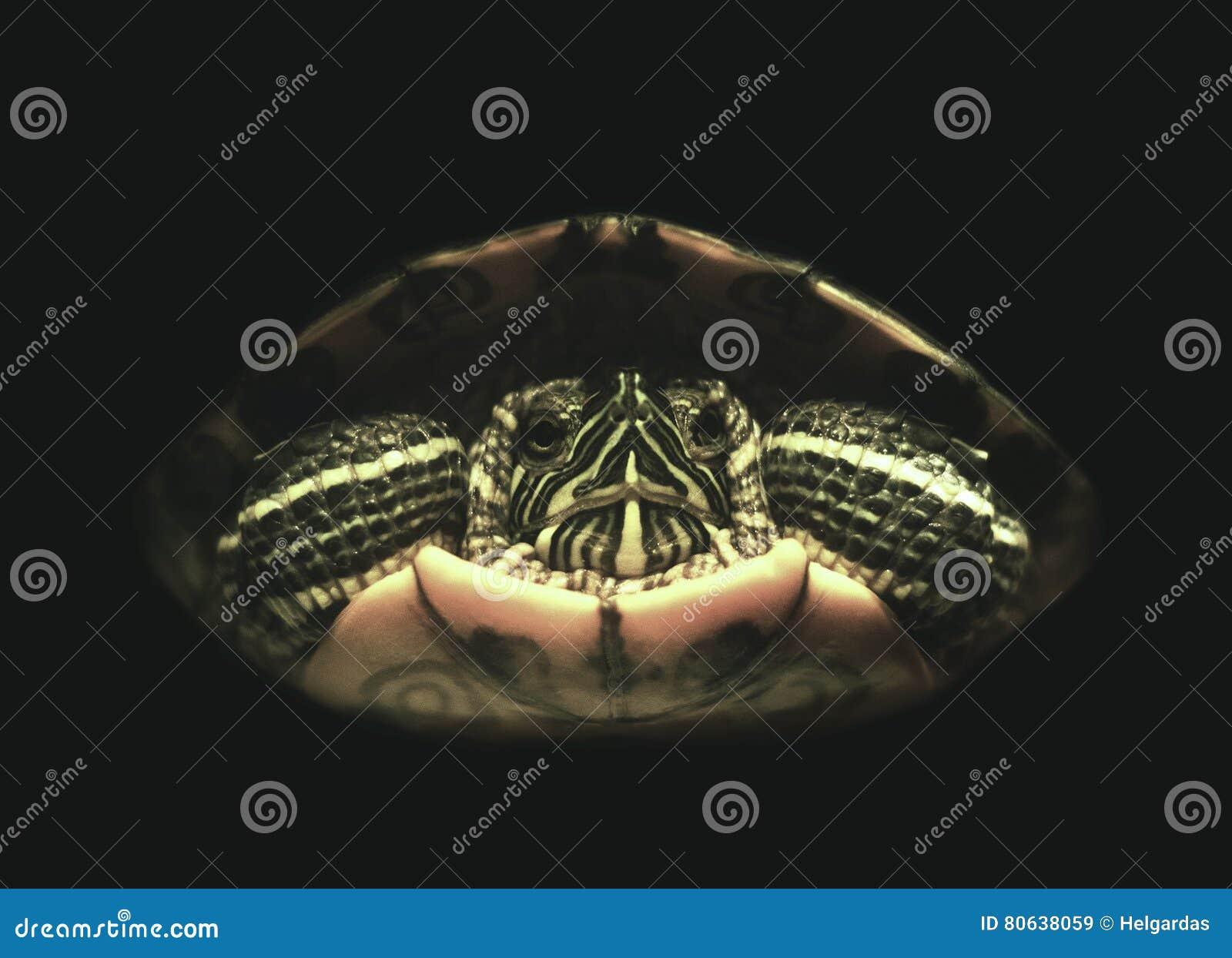 Rot-Ohr Schildkröte
