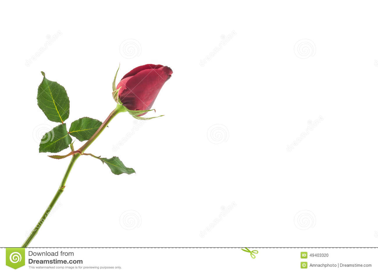 Download Rot stieg stockfoto. Bild von geläufig, dekorativ, flora - 49403320