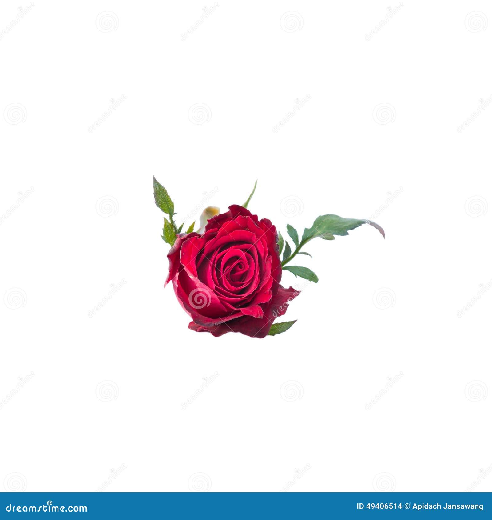 Download Rot Stieg Auf Weißen Hintergrund Stockfoto - Bild von pink, hintergrund: 49406514