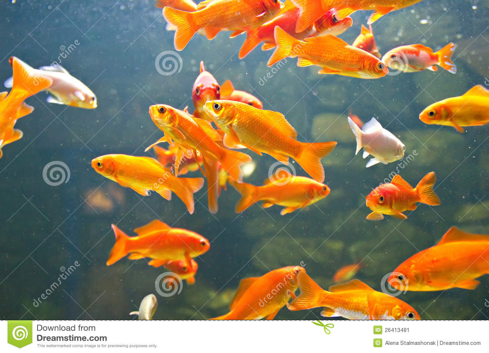 Rot und goldfische stockbild bild 26413481 for Goldfische im aquarium