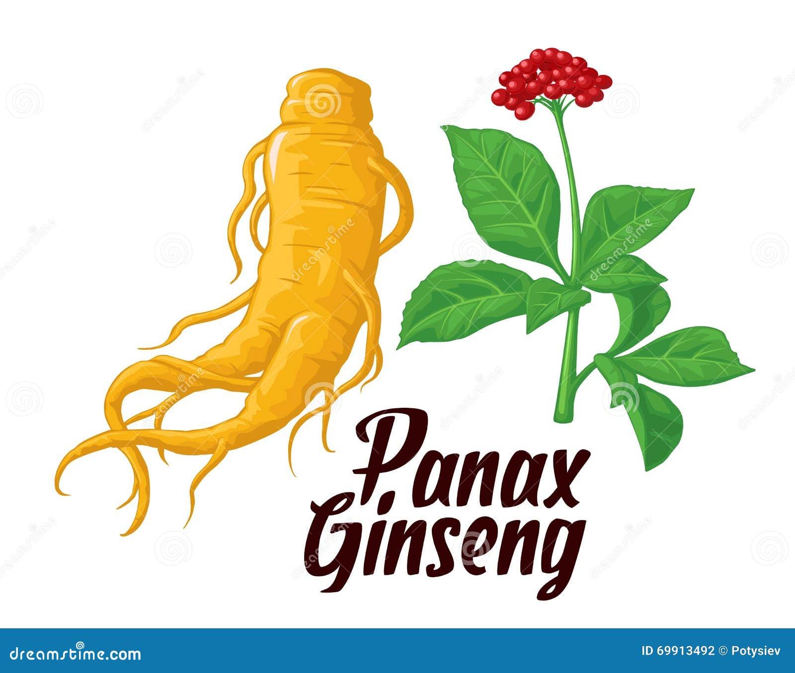 Rota och lämnar panax ginseng Färgrik plan illustration för vektor av medicinalväxter Biologiska tillsatser är Sund livsstil