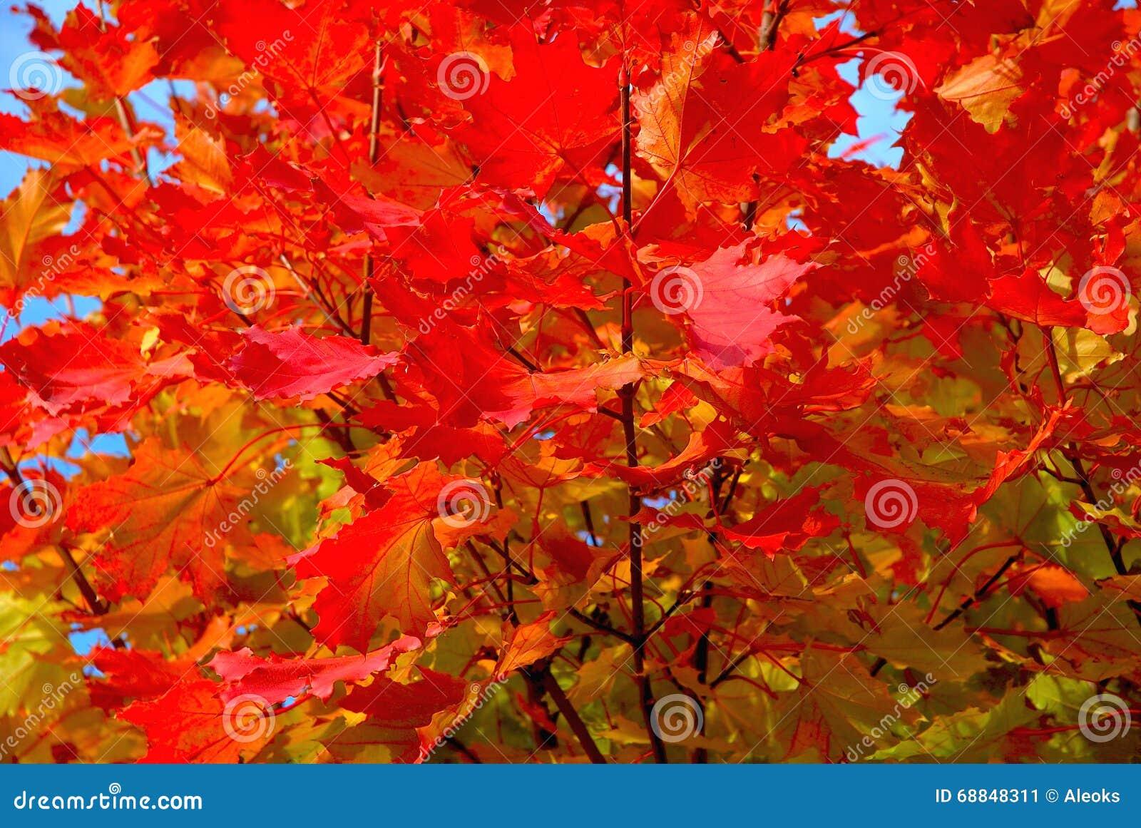 Rotahornbaum im Herbst
