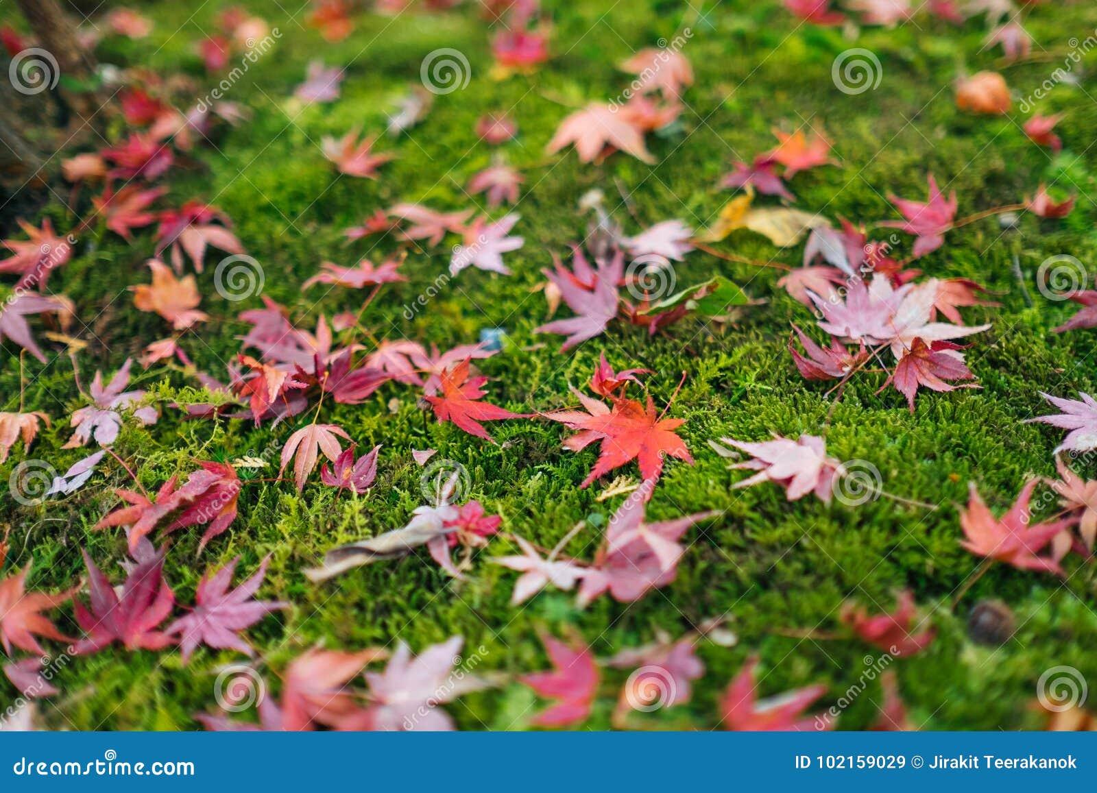 Rotahornblätter fallen aus den Grund im Herbst