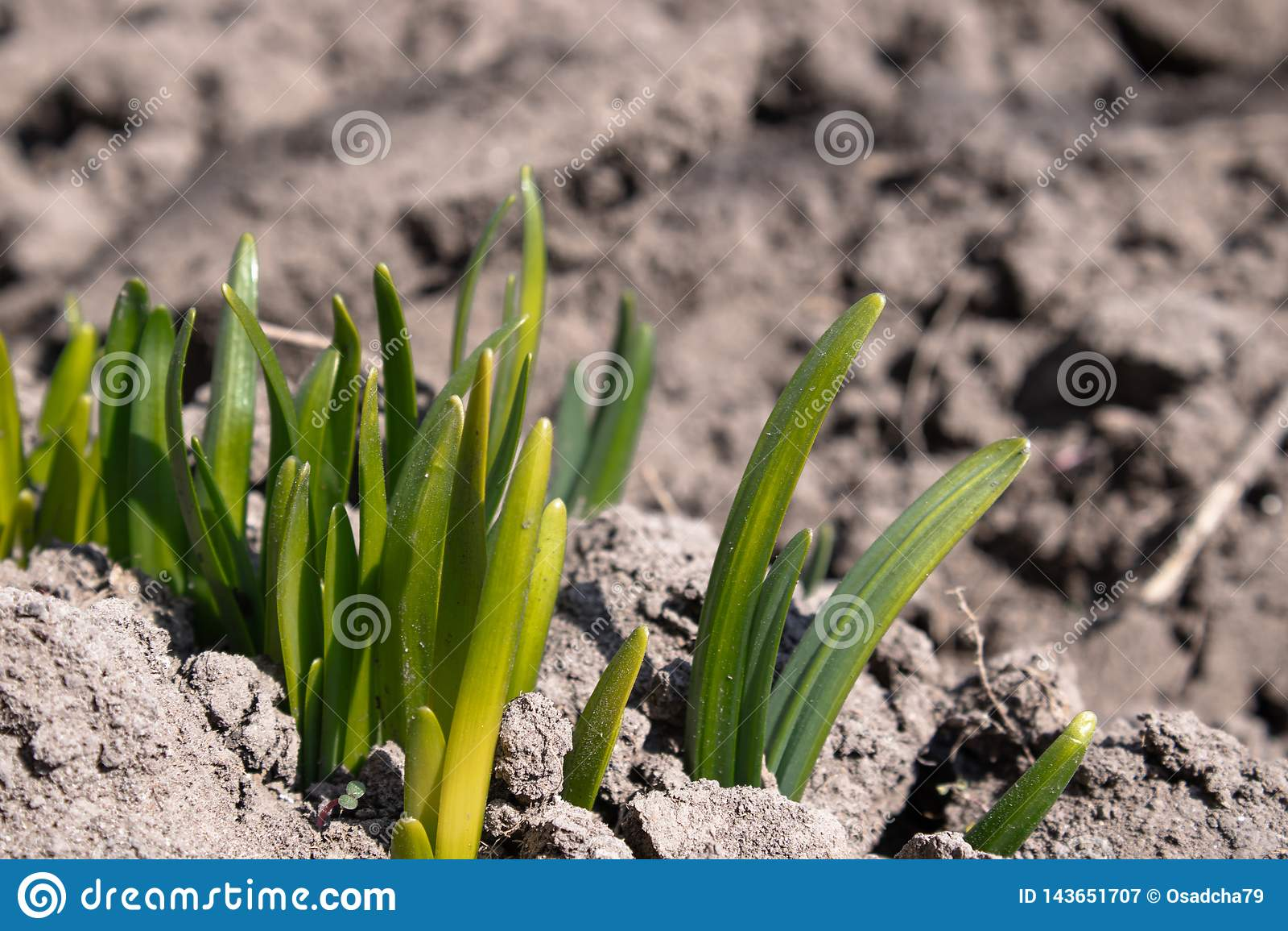 Rotar av blommor spirar med zamly Blommor växer i vår