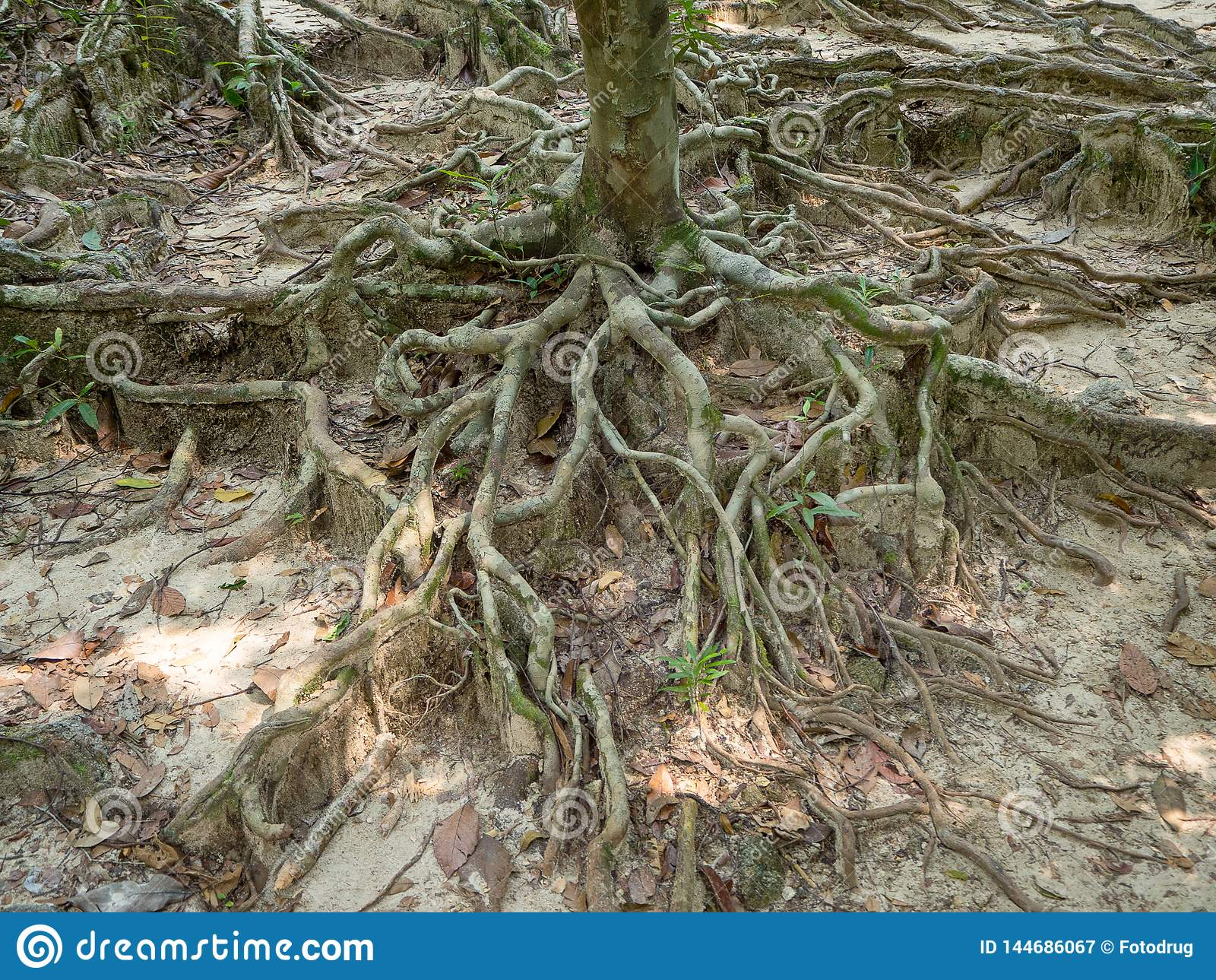 Rotar av ett tropiskt tr?d