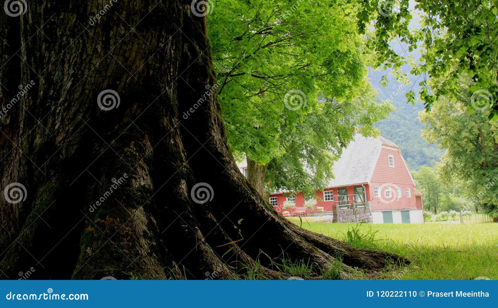 Rotar treen Stort träd med det gröna fältet