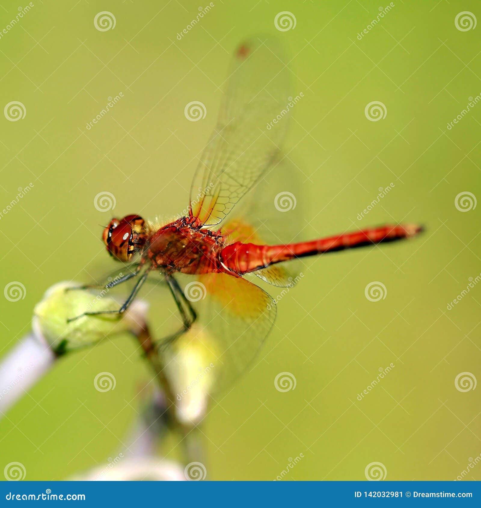 Rotbraune Libelle
