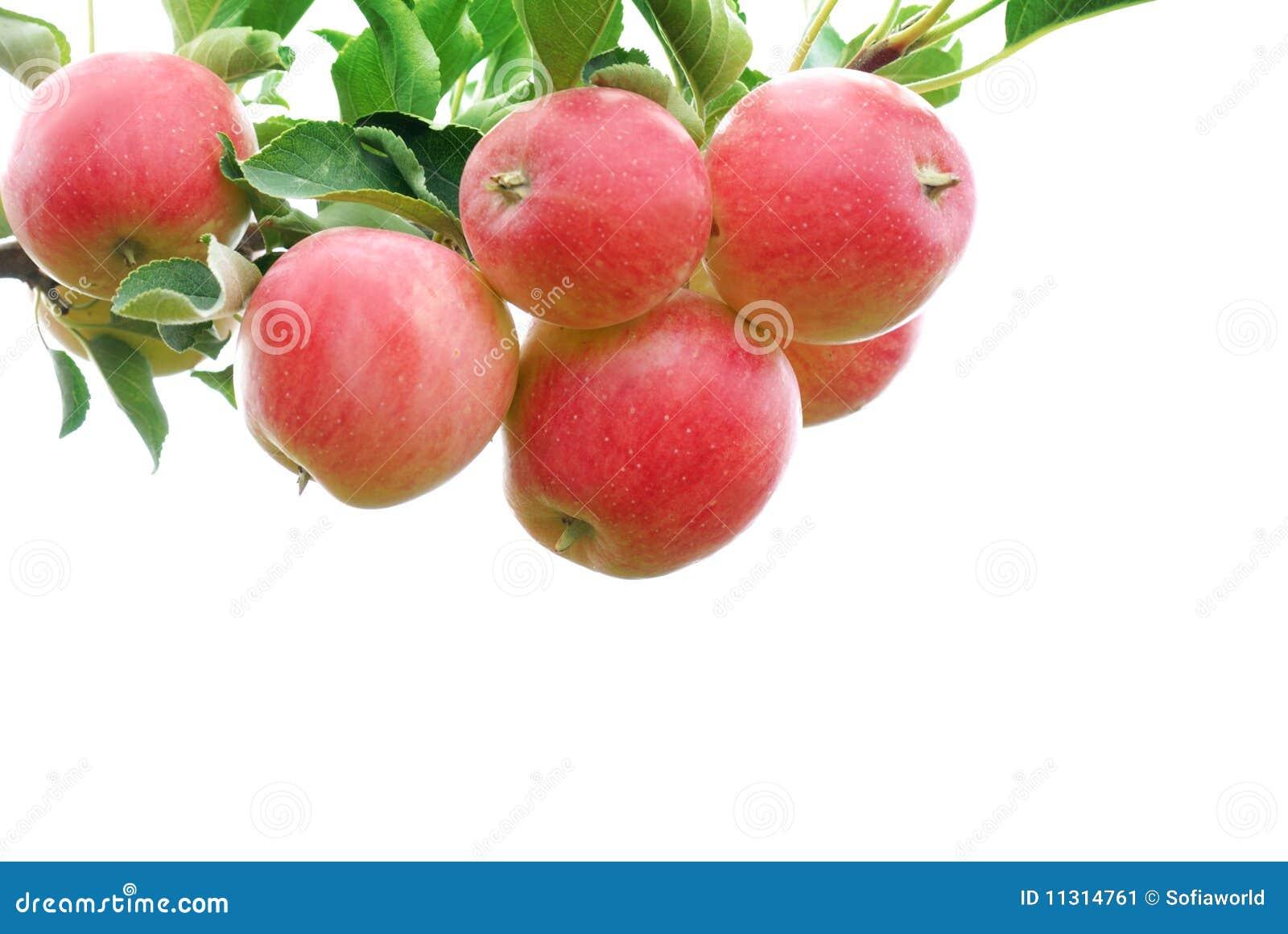 Rote Äpfel auf dem weißen Hintergrund
