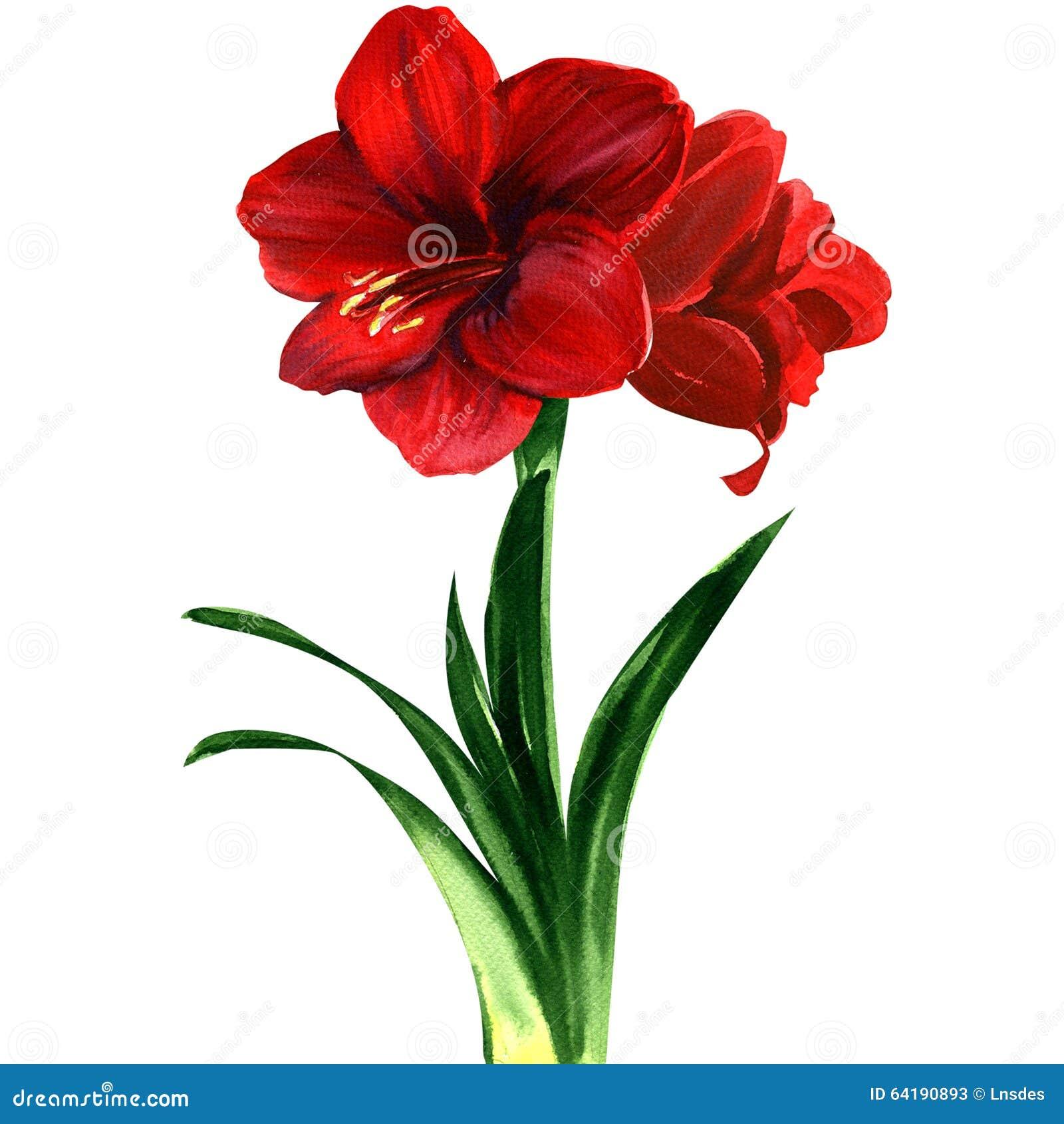 Rote amaryllis blume hippeastrum stock abbildung bild for Amaryllis fleurs