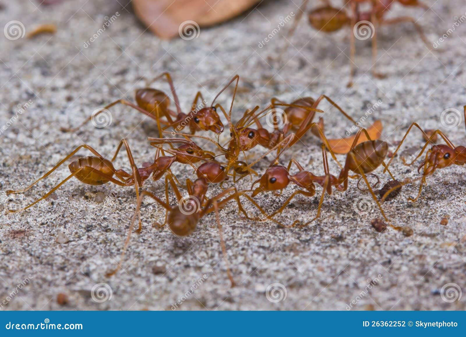 Rote Ameisen