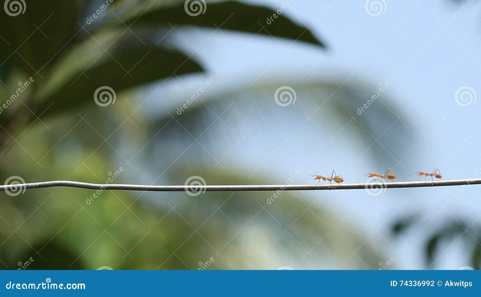 Rote Ameisen, Die Auf Draht Gehen Stock Footage - Video von ...