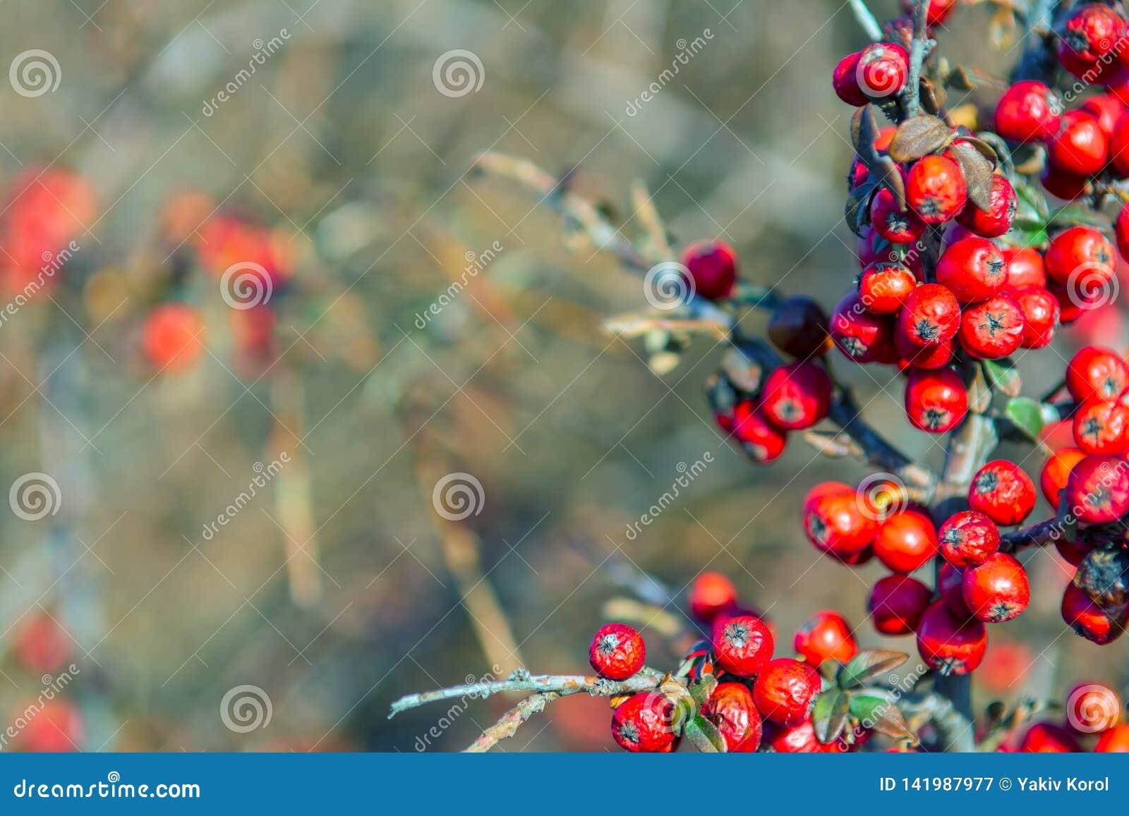 Rote Beere etwas getrocknet auf dem Busch psychedelisch Silbernes buffaloberry, Shepherdia-argentea