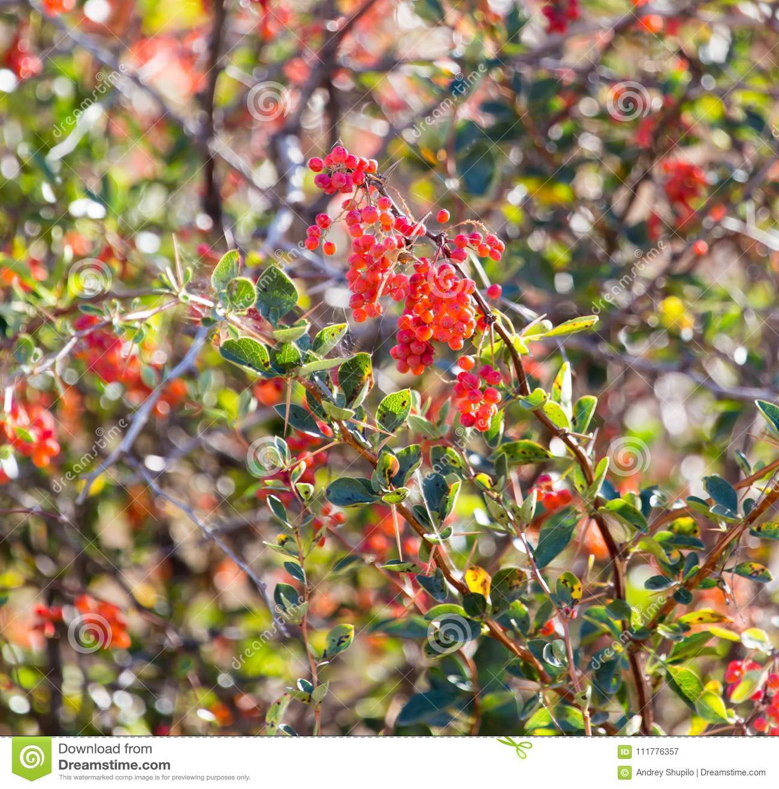 Rote Berberitzenbeere auf der Natur