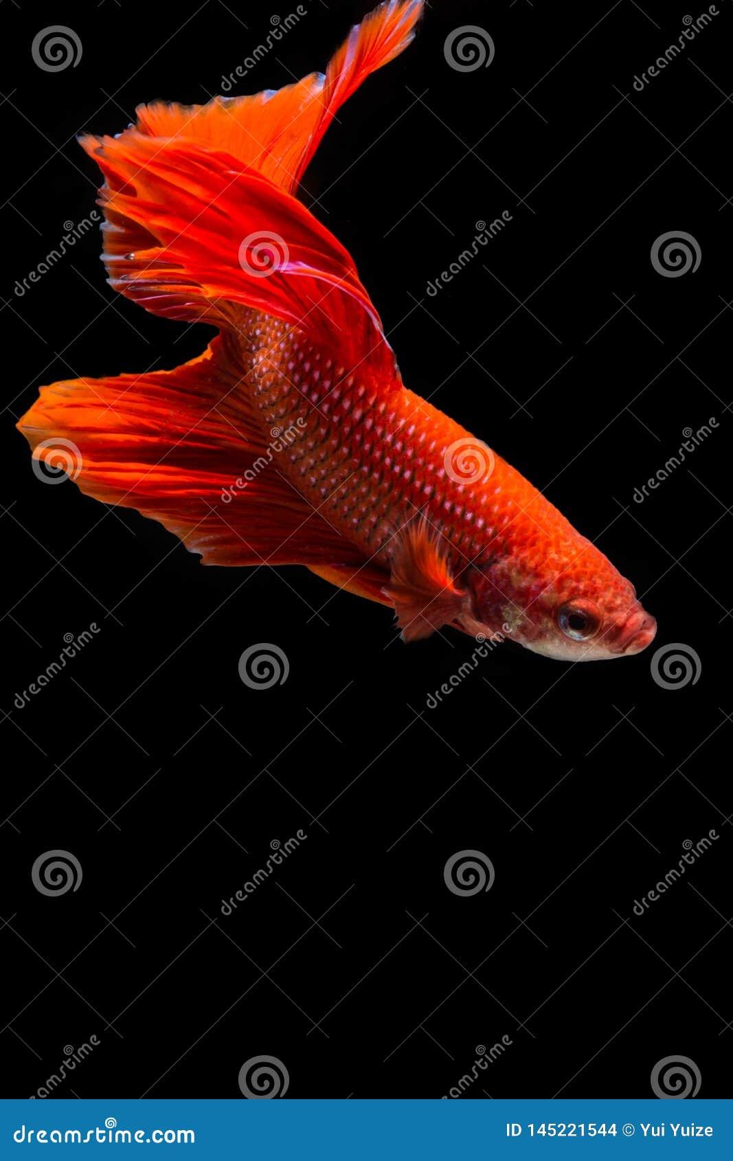 Rote betta Fische