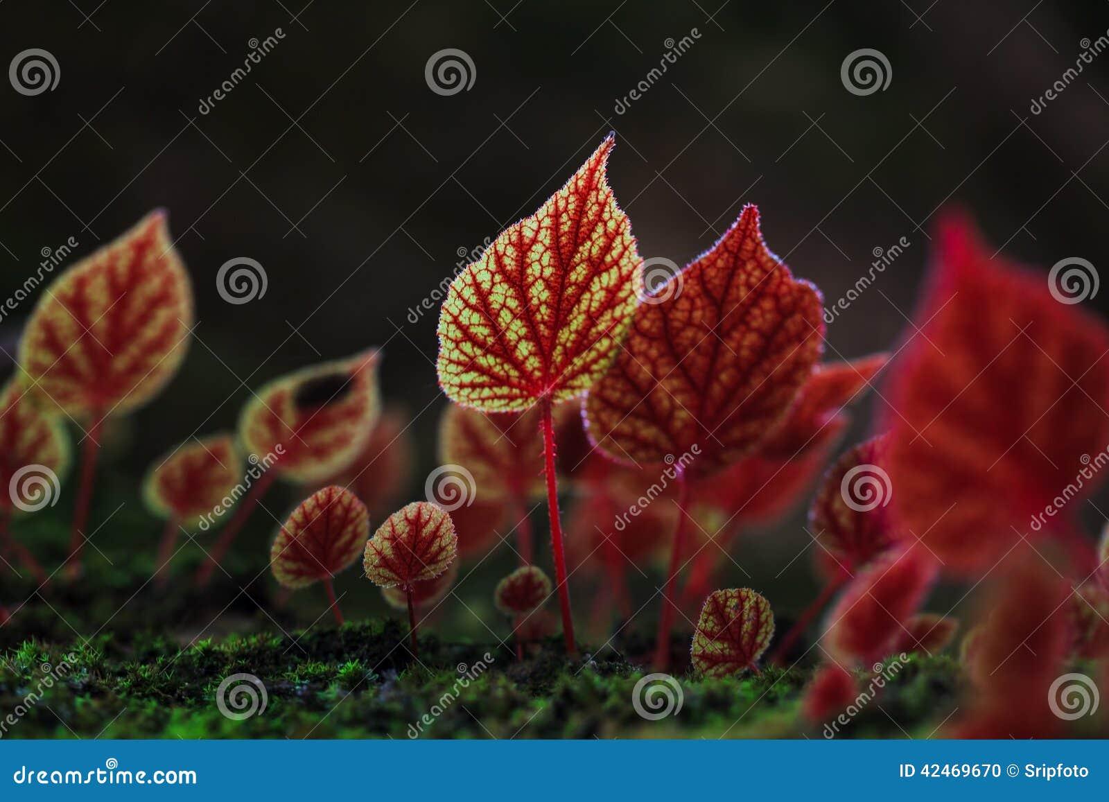 Rote Blätter der Begonie blüht am Nationalpark Phitsanulok, Thail
