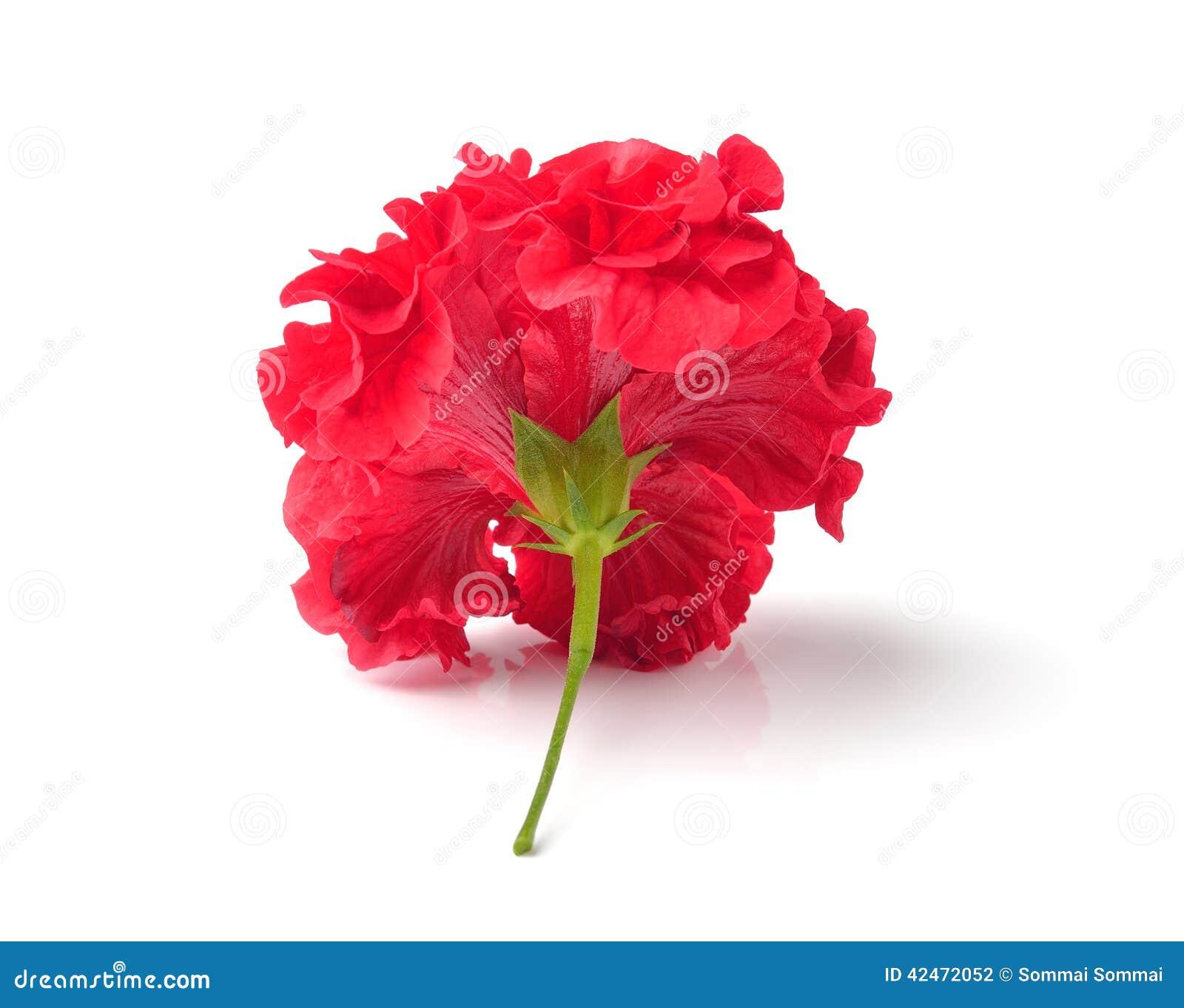 Rote Blumen auf weißem Hintergrund