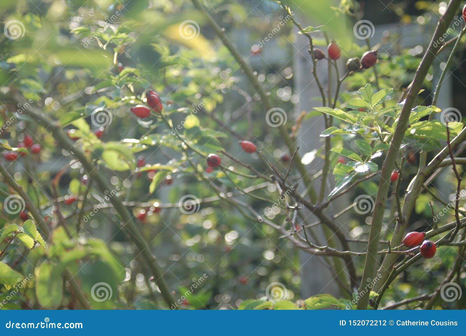 Rote Blumenknospen auf einem Gebiet von Stämmen