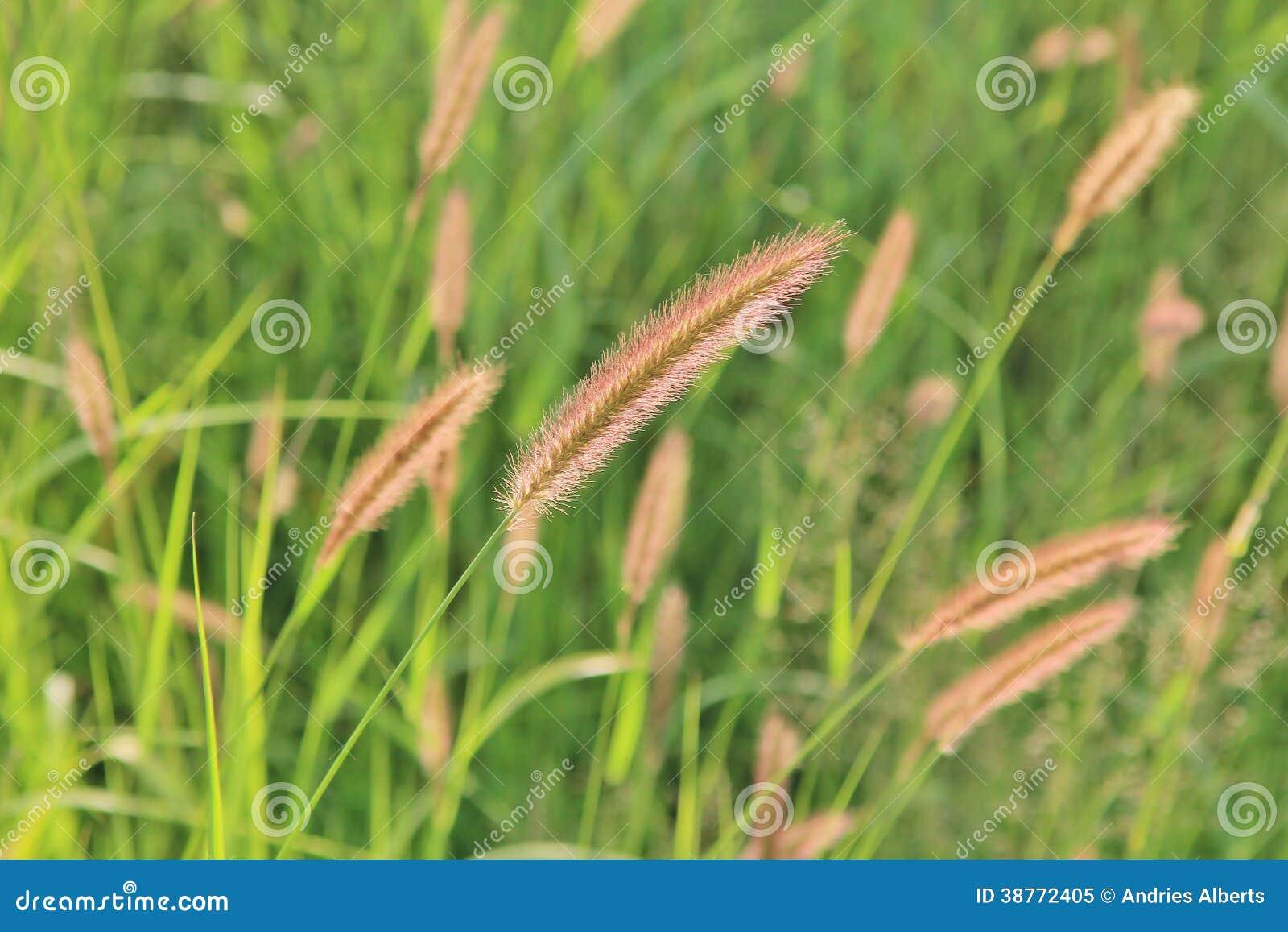 rote cat tail grass detail natur farbhintergrund und. Black Bedroom Furniture Sets. Home Design Ideas