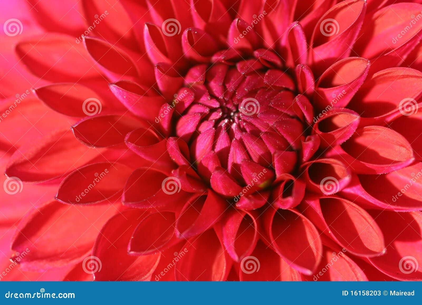 Rote Dahlieblume