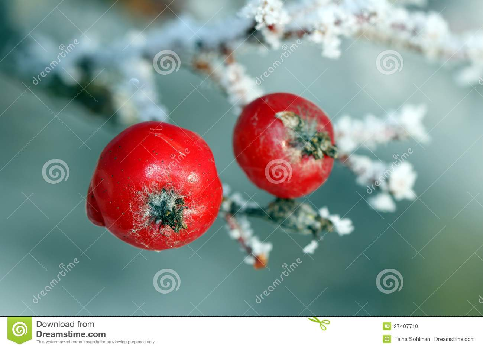 rote eberesche baum beeren abgedeckt mit frost stockfoto bild 27407710. Black Bedroom Furniture Sets. Home Design Ideas