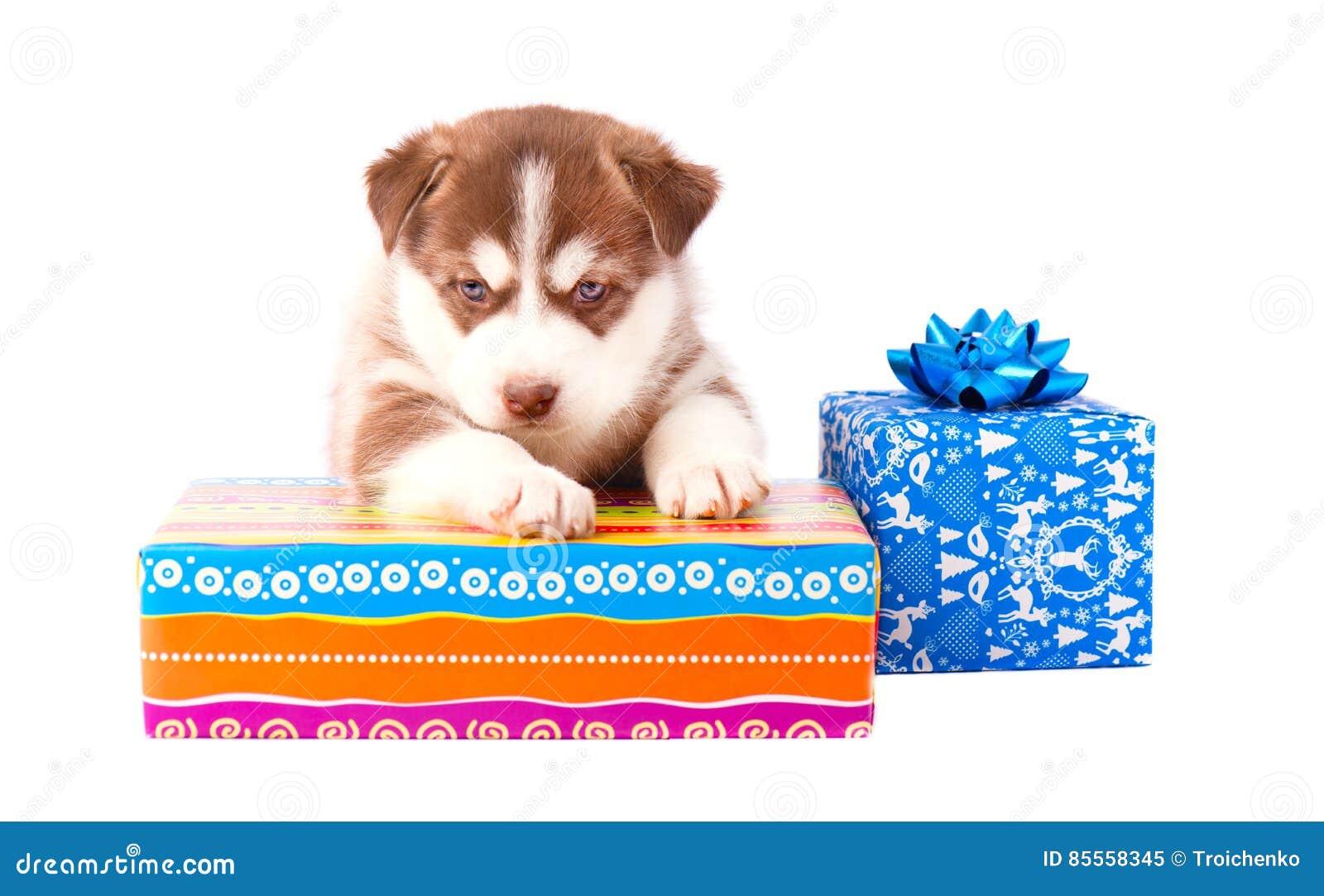 Rote Farbe des kleinen Welpensibirischen huskys auf einer farbigen Geschenkbox lokalisierte weißen Hintergrund
