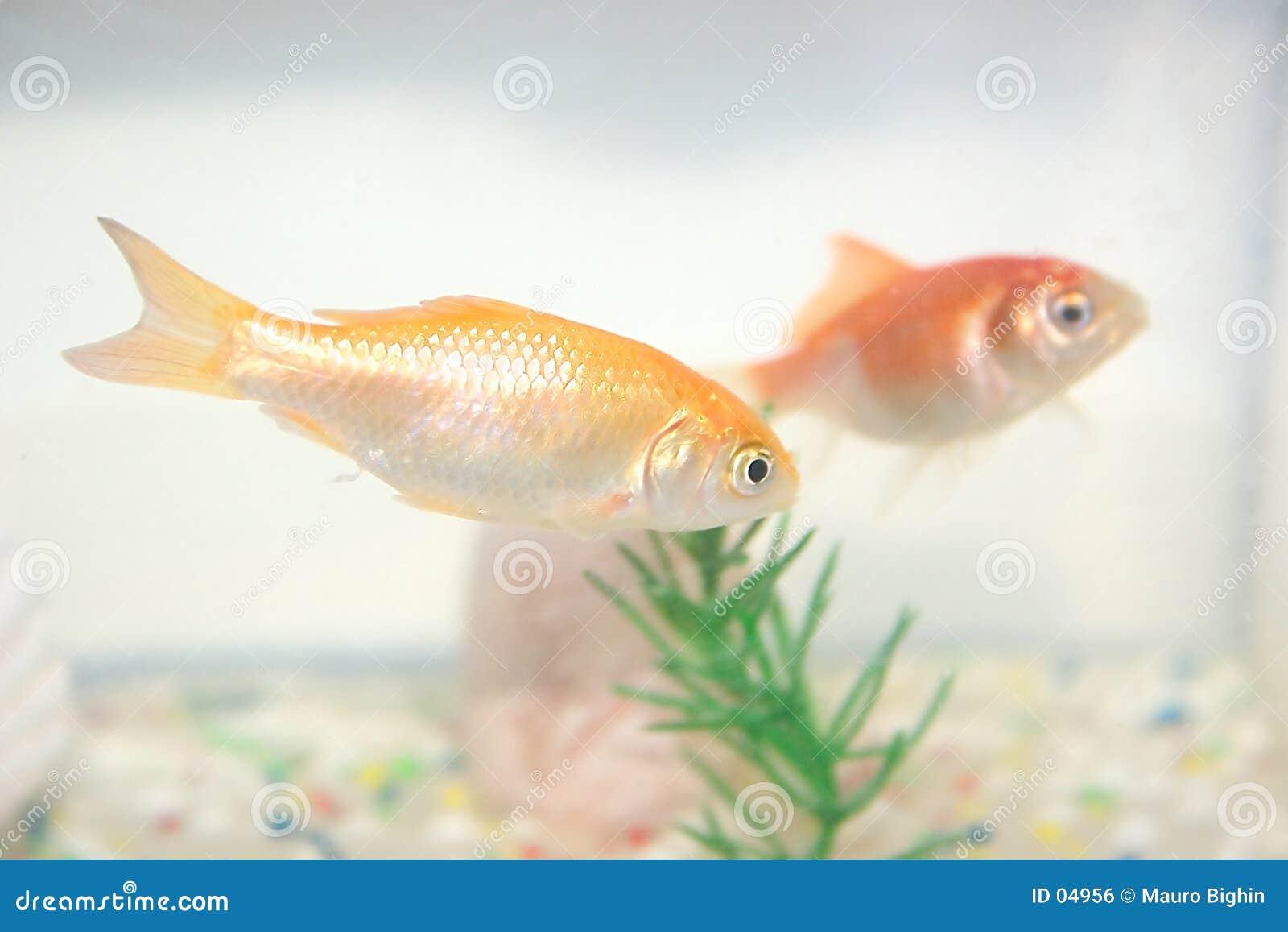 Rote Fische