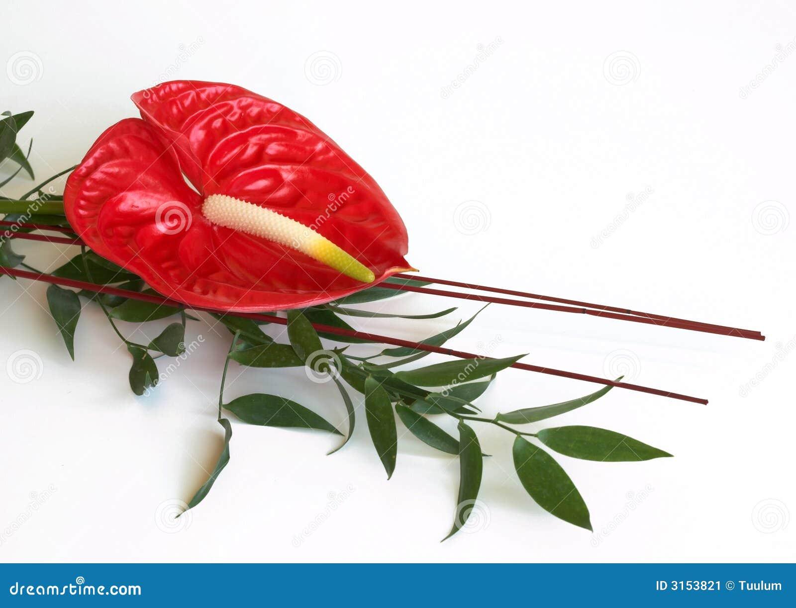 Rote Flamingoblume, Blütenschweif