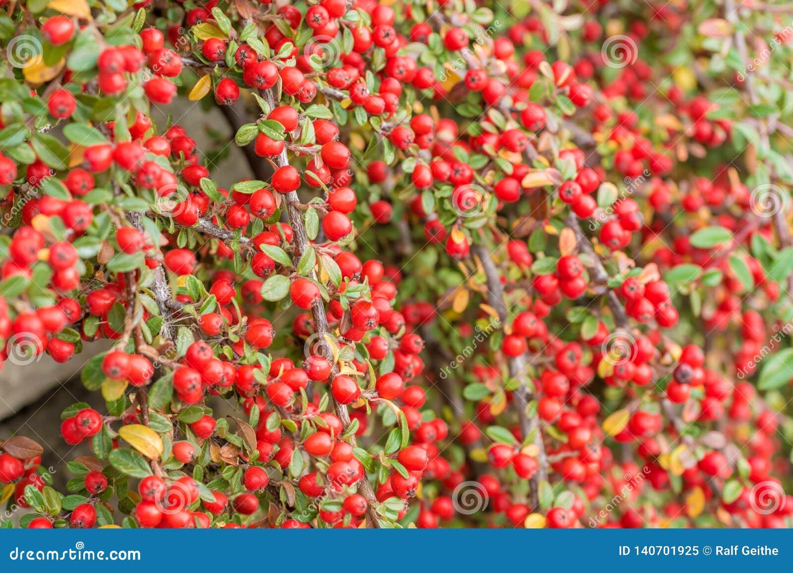 Rote Früchte von Cotoneaster